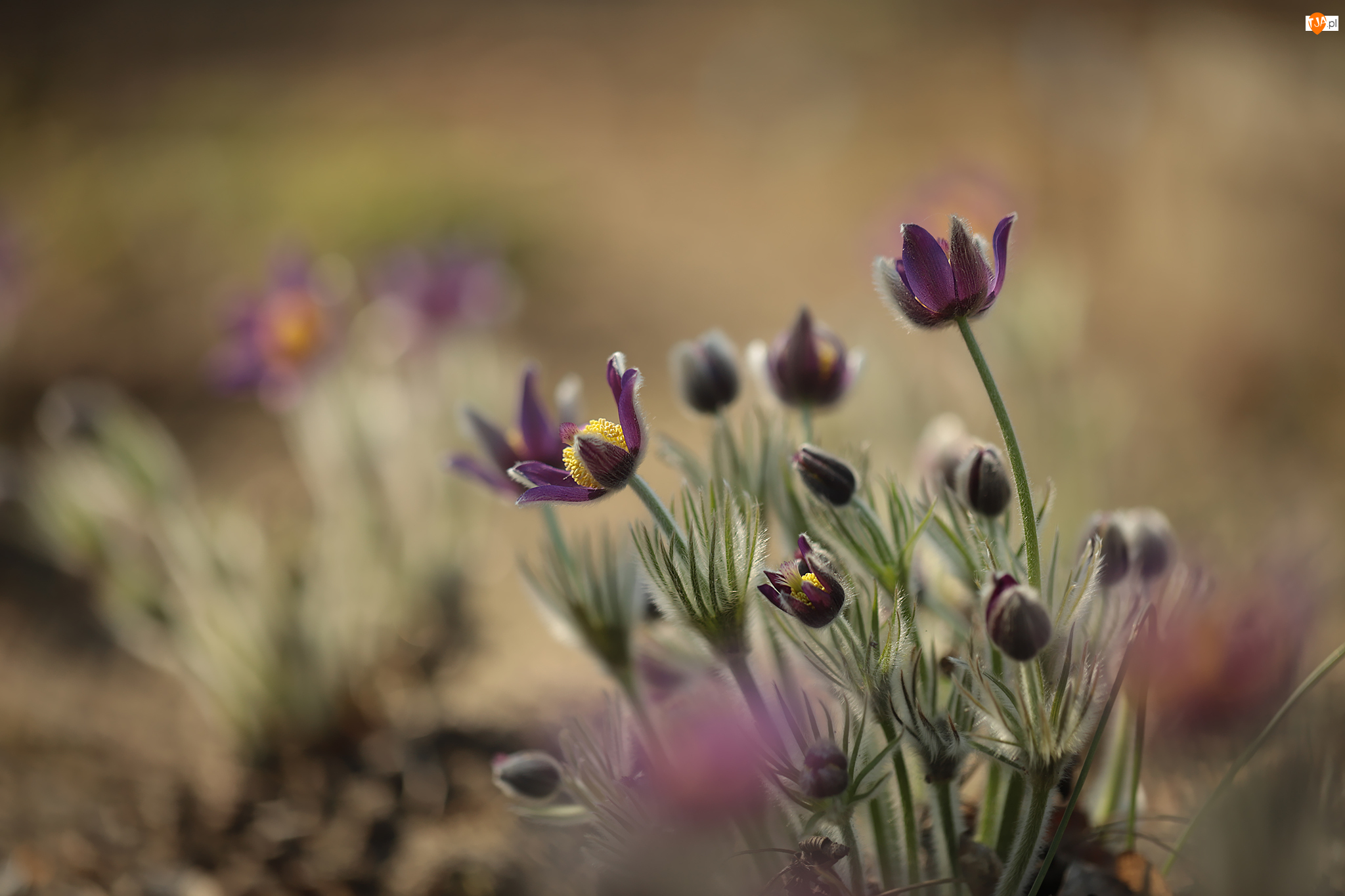 Pąki, Sasanki, Kwiaty