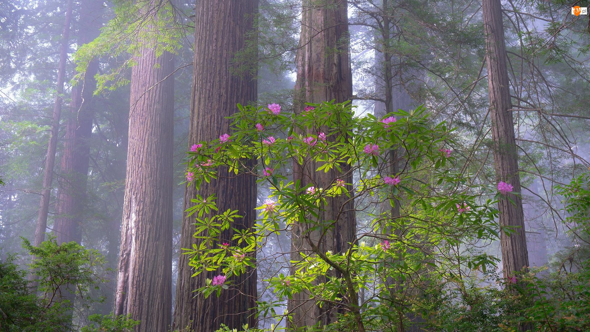 Las, Park Narodowy Redwood, Różanecznik, Stany Zjednoczone, Drzewa, Kalifornia