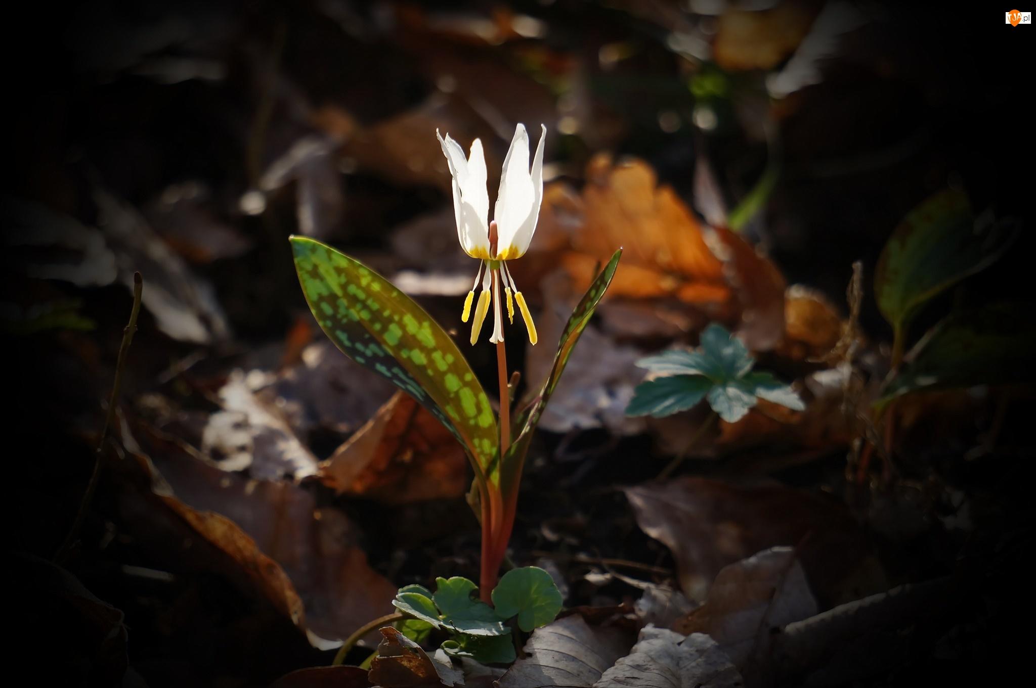 Psiząb, Kwiat, Erythronium, Biały