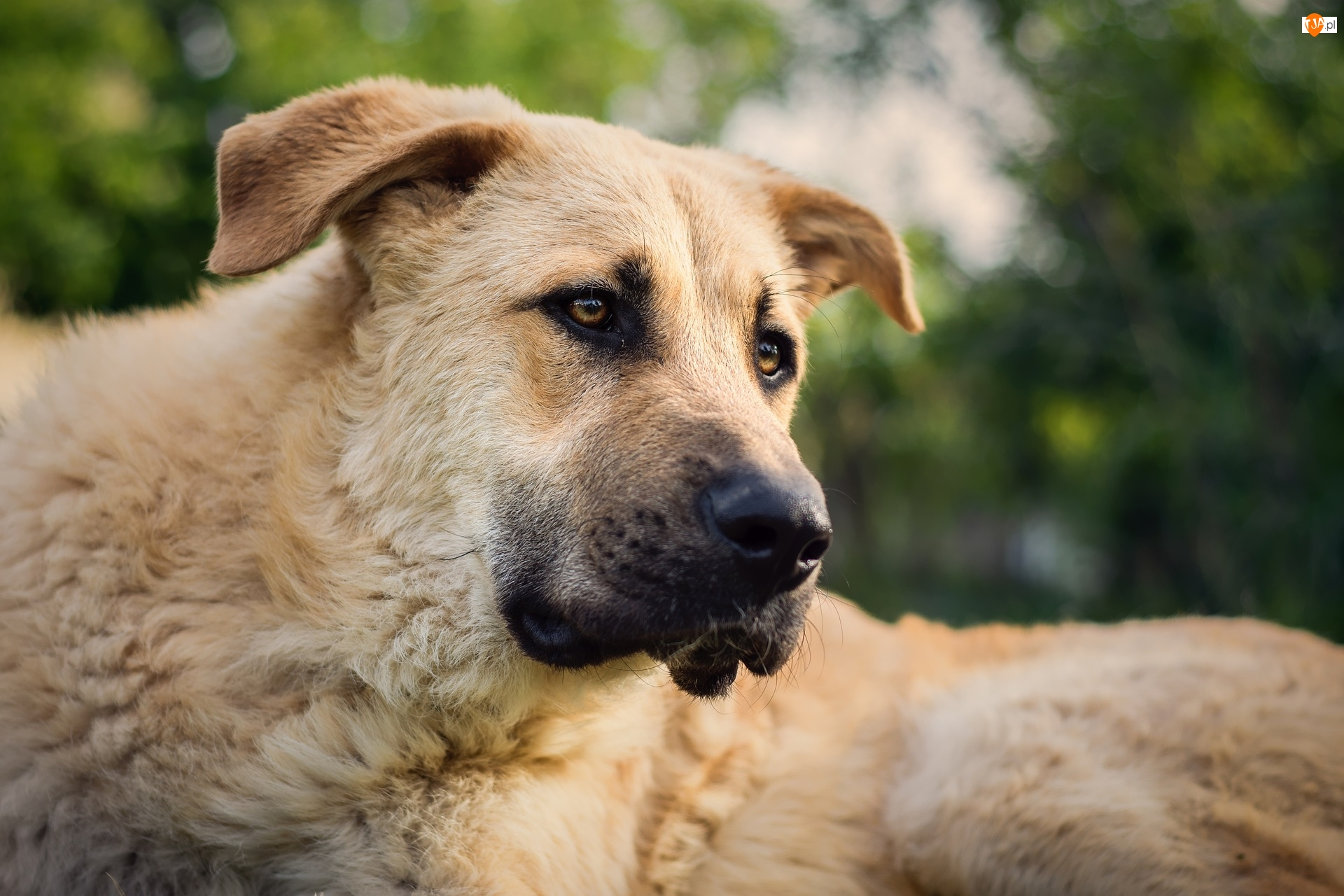 Pies, Jasnobrązowy