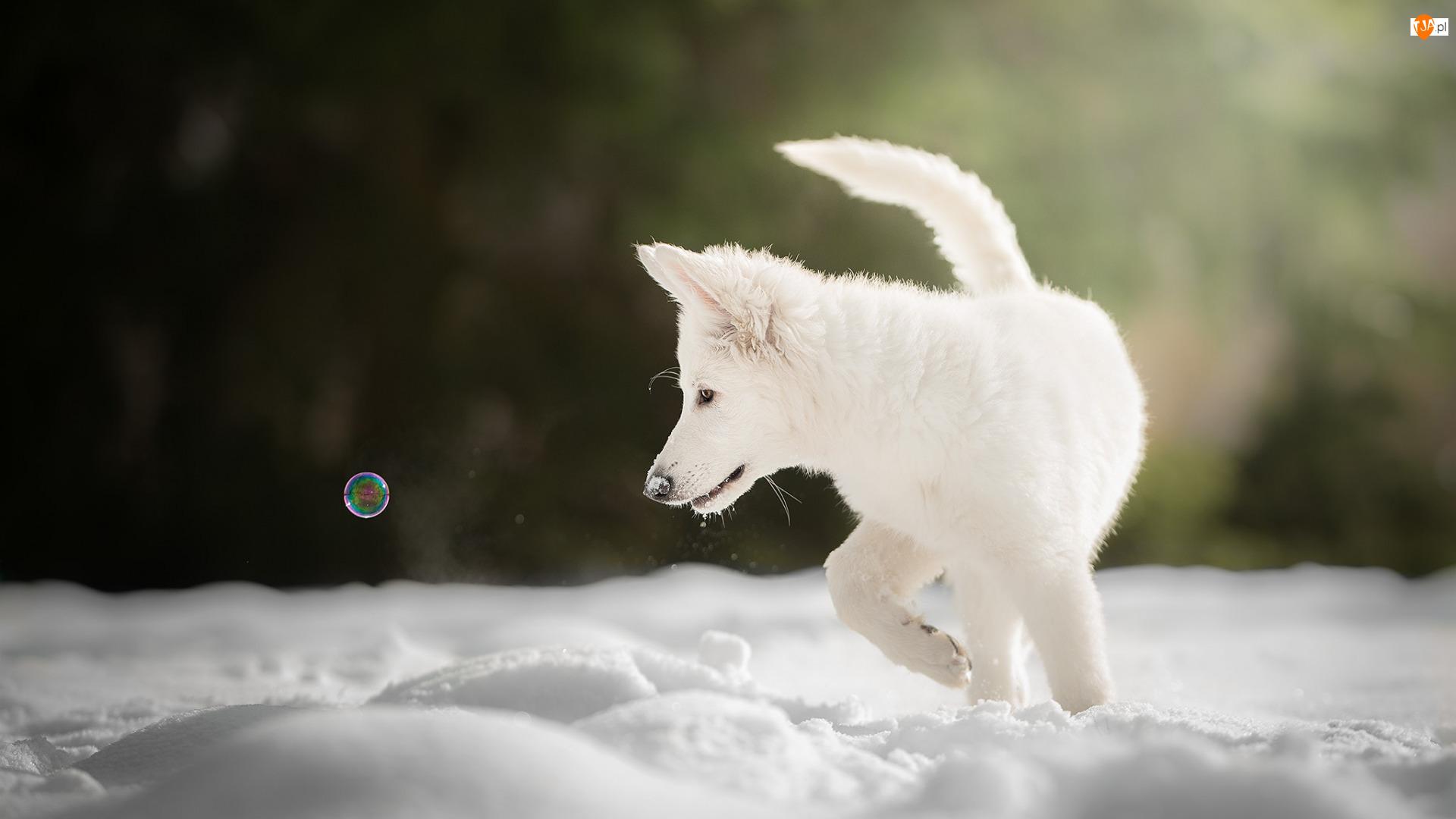 Bańka, Pies, Szczeniak, Biały owczarek szwajcarski