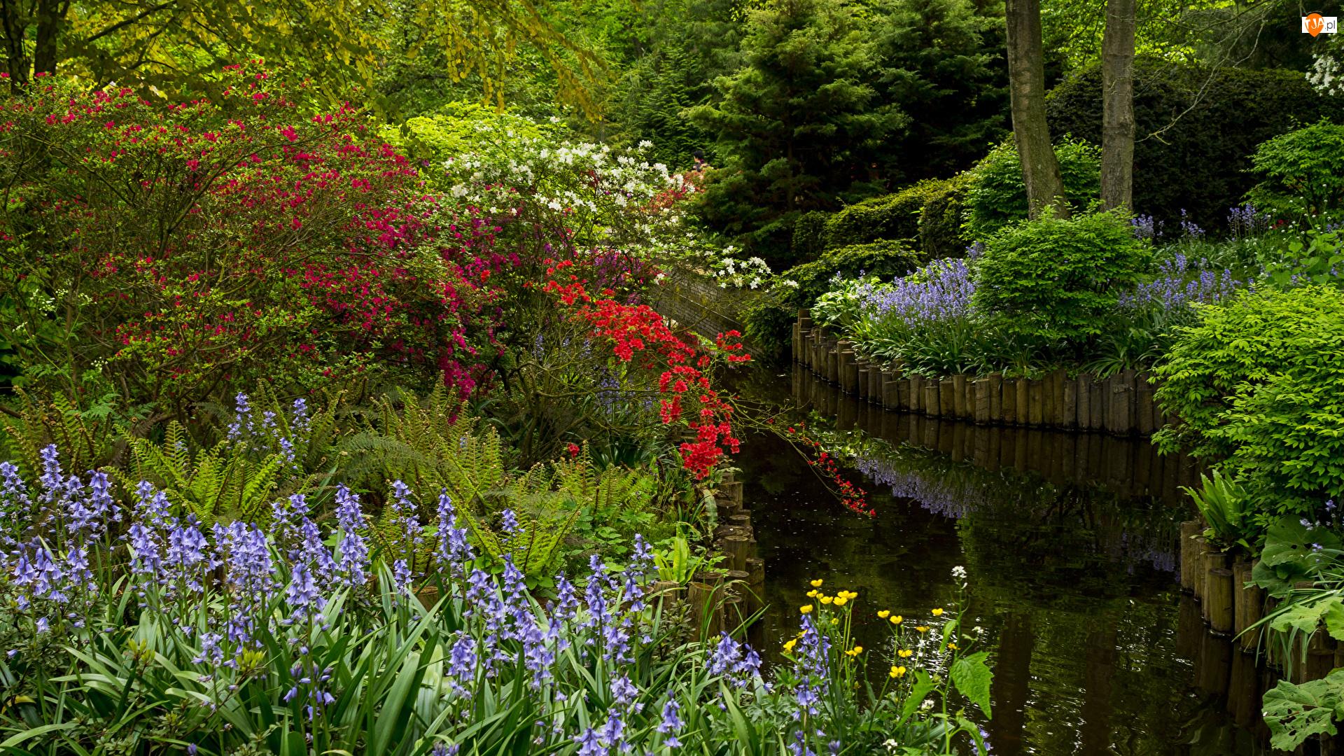 Holandia, Staw, Drzewa, Dzwonki, Park, Ogród Keukenhof, Różaneczniki, Krzewy, Kwiaty, Lisse