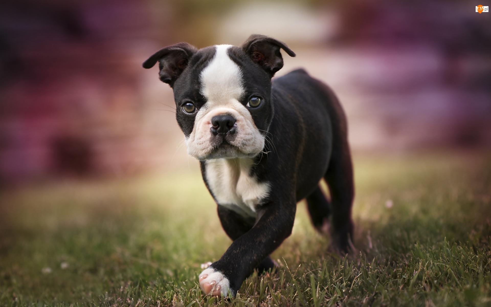 Boston terrier, Pies, Szczeniak