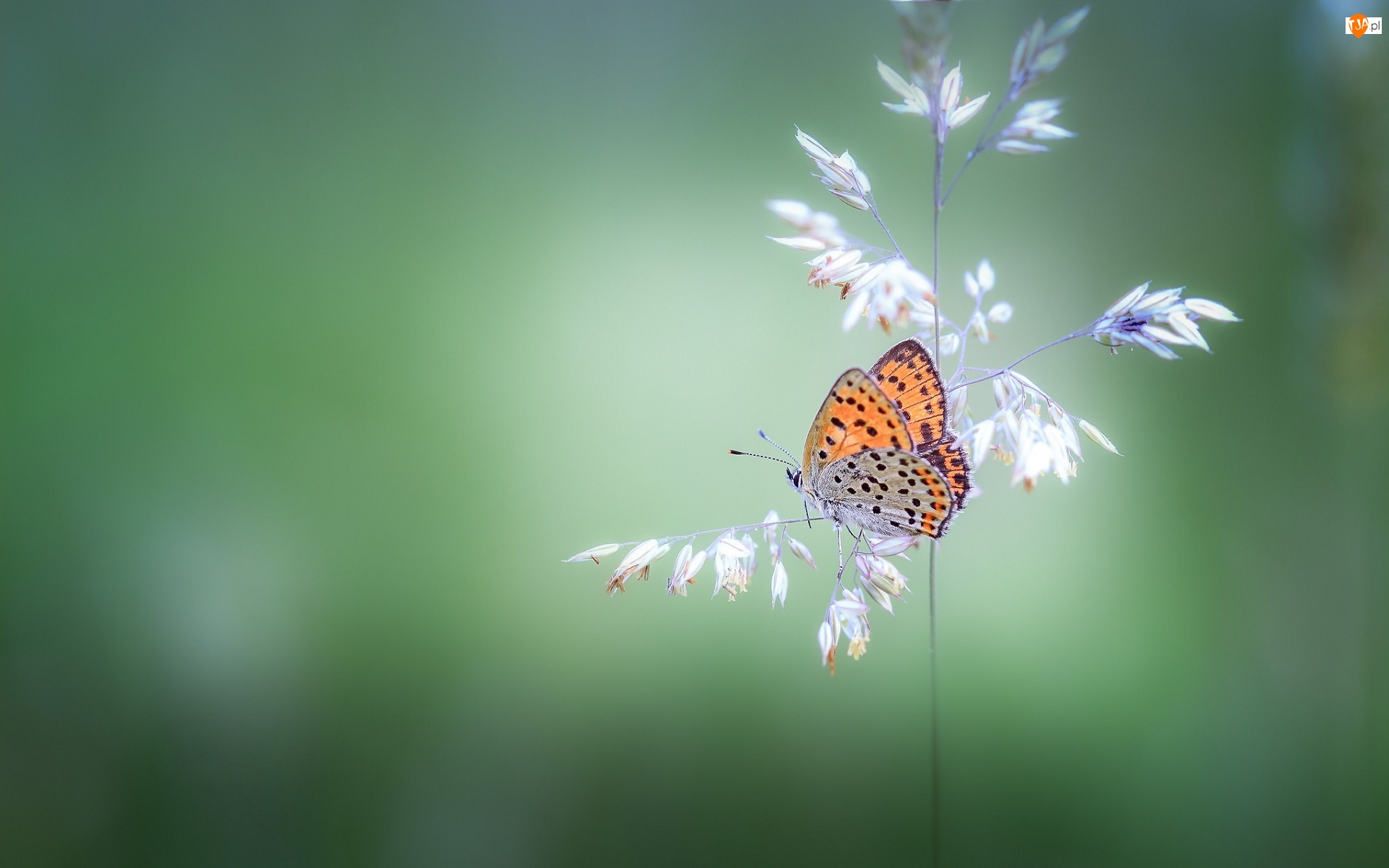 Czerwończyk żarek, Źdźbło, Trawa, Motyl