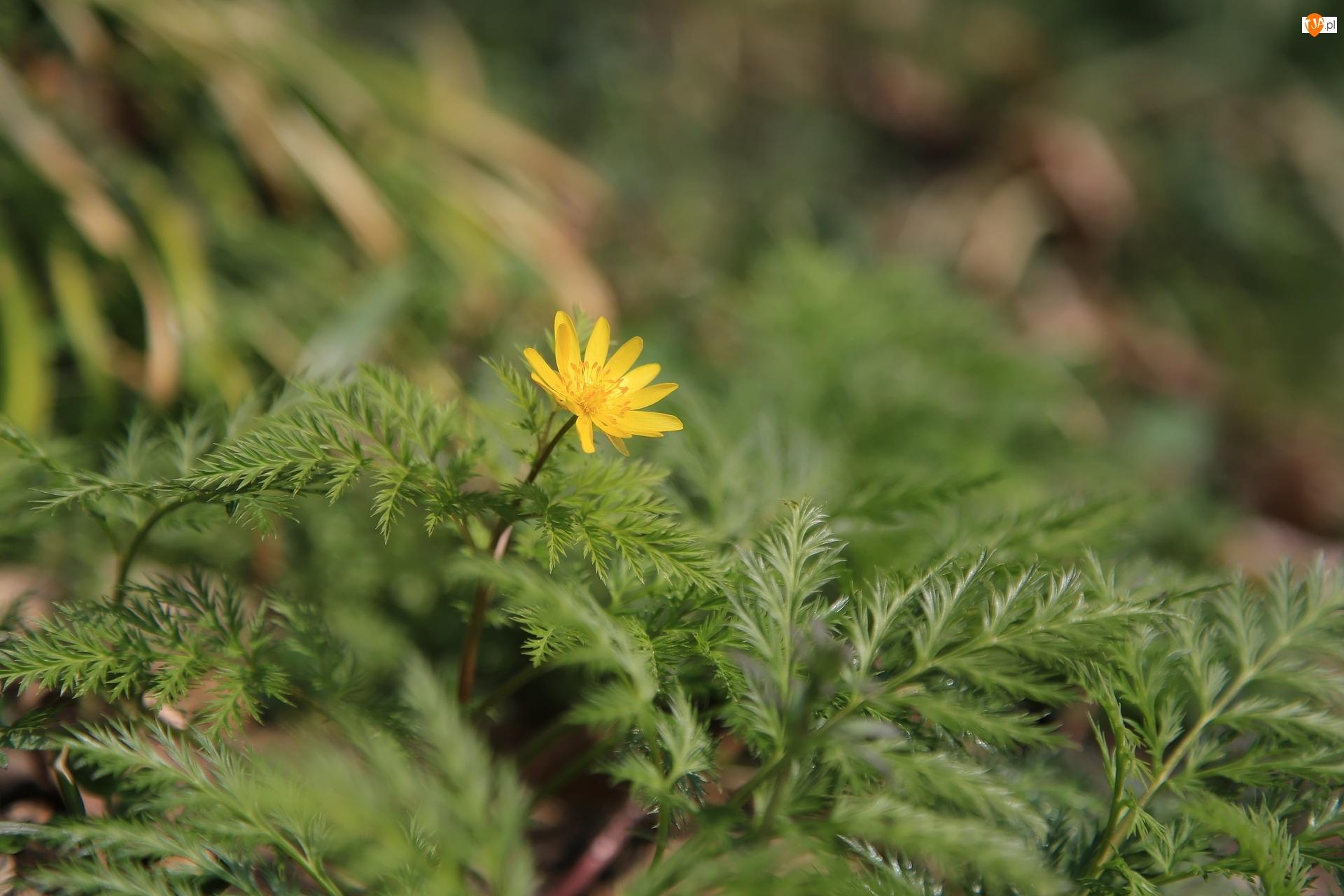Miłek wiosenny, Żółty, Kwiat