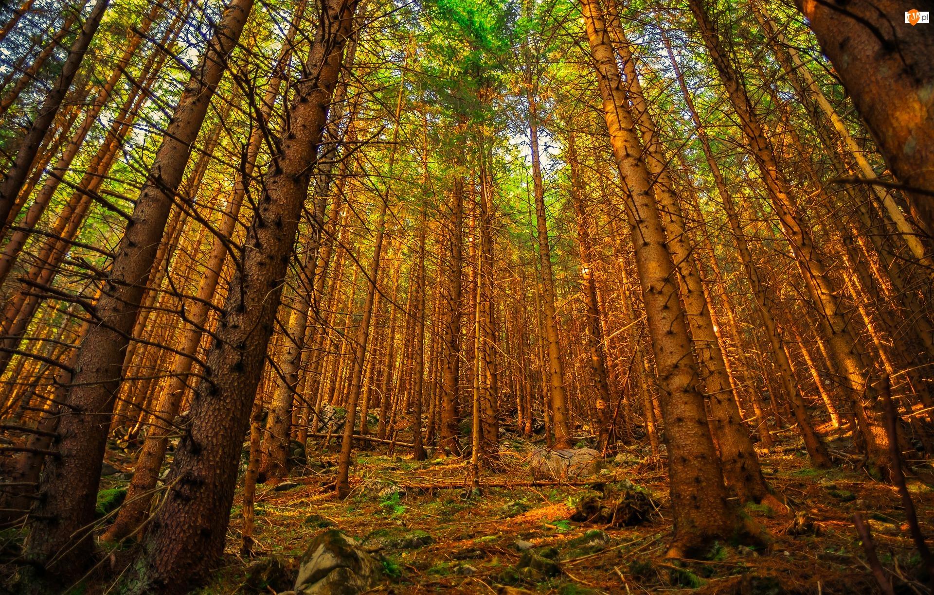 Drzewa, Las, Wysokie