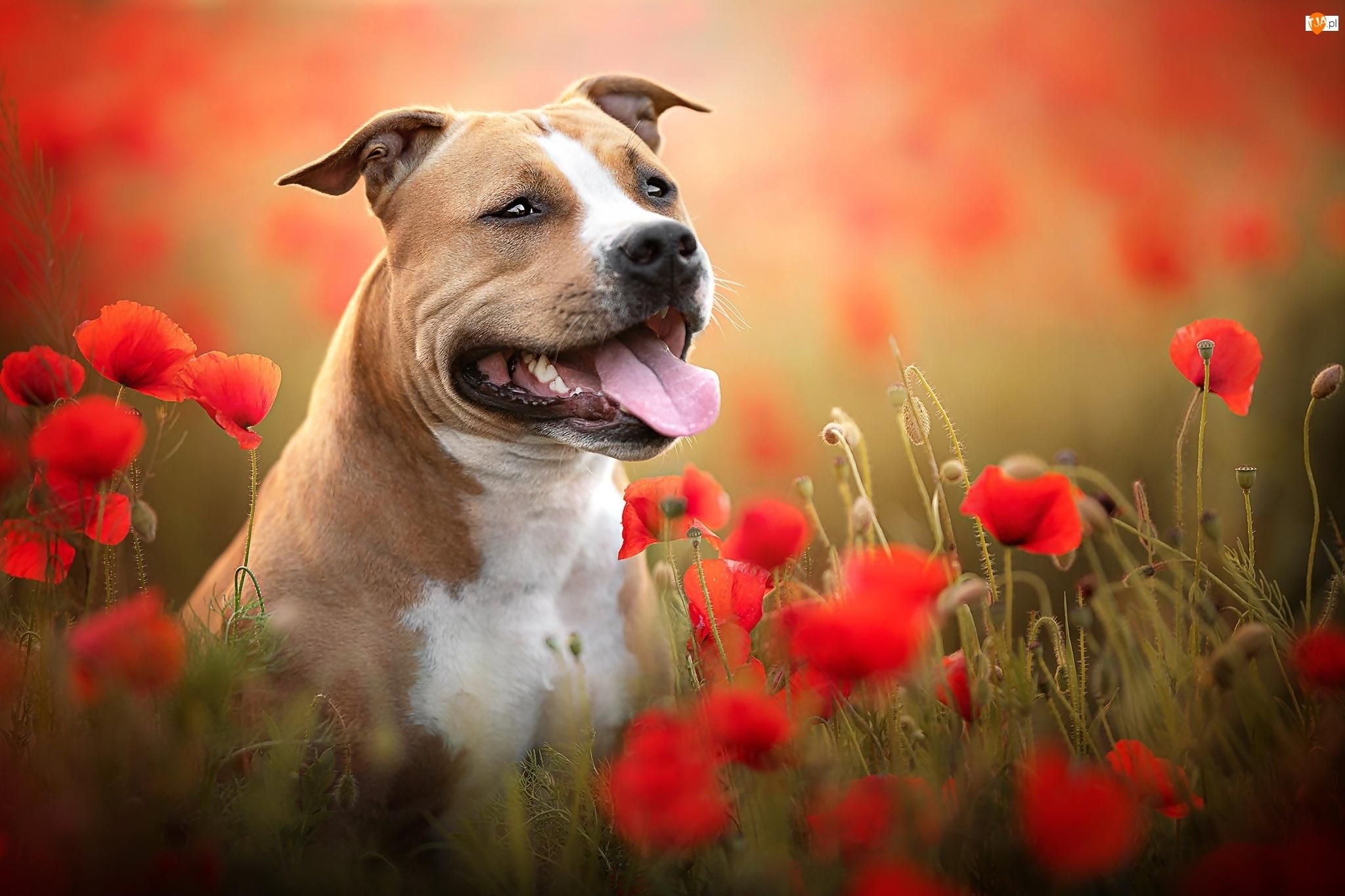 Maki, Pies, Staffordshire bull terrier