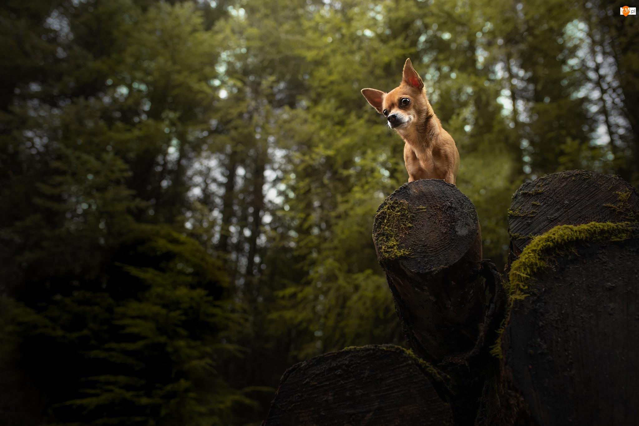 Las, Pies, Chihuahua krótkowłosa, Drewno