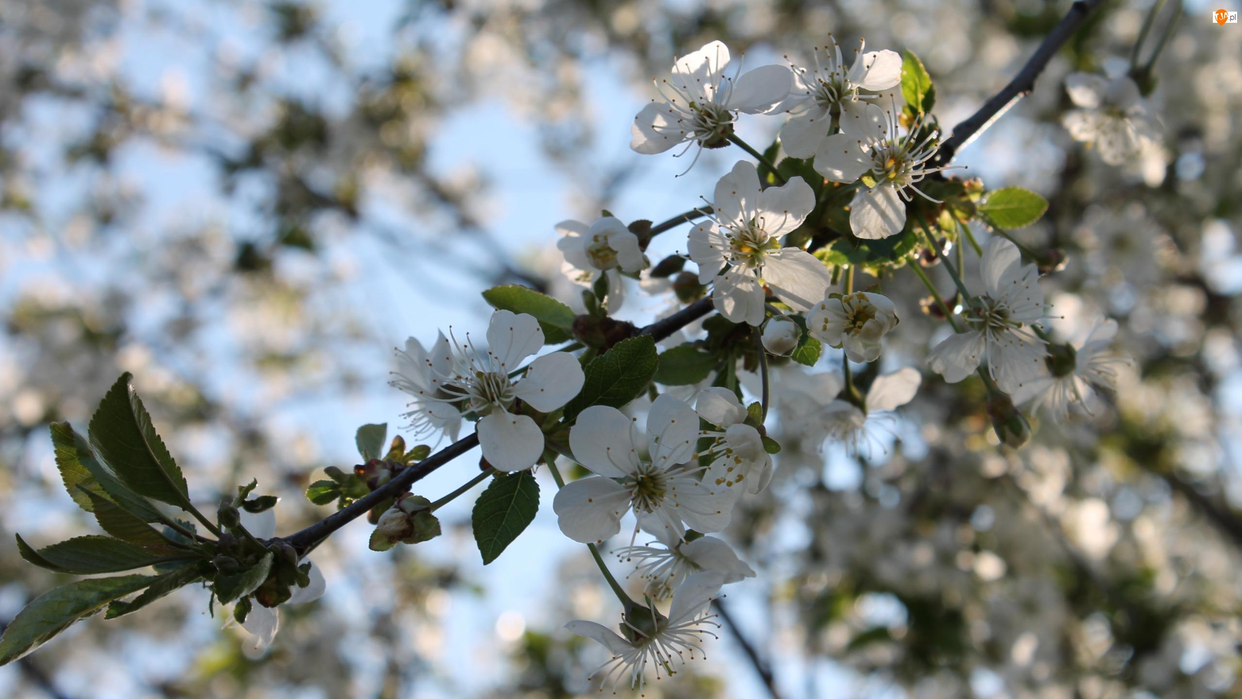 Drzewo owocowe, Listki, Kwiaty, Białe, Gałązka