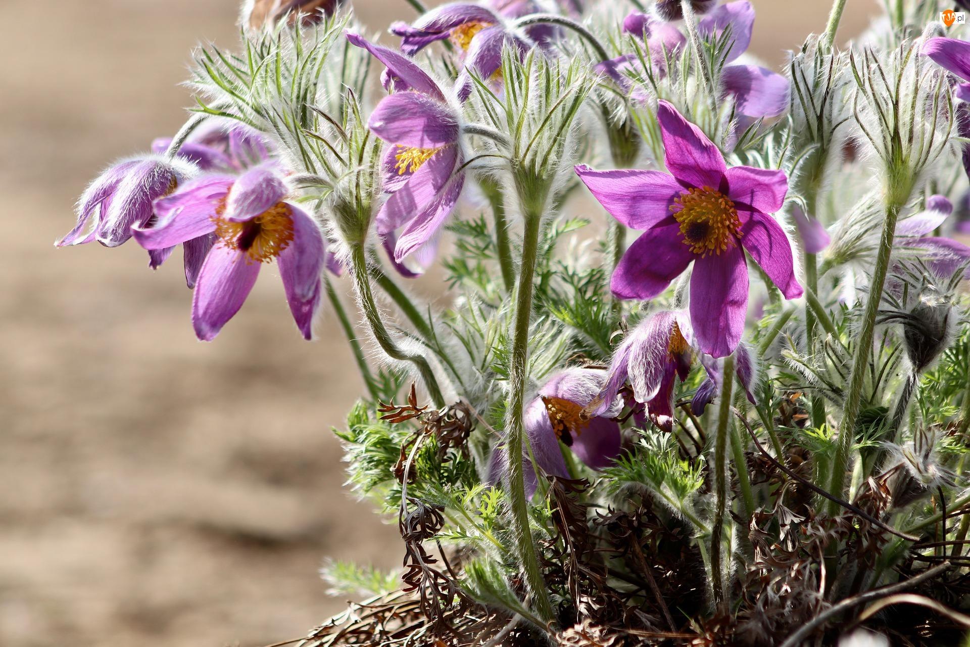 Sasanki, Wiosenne, Kwiaty, Fioletowe