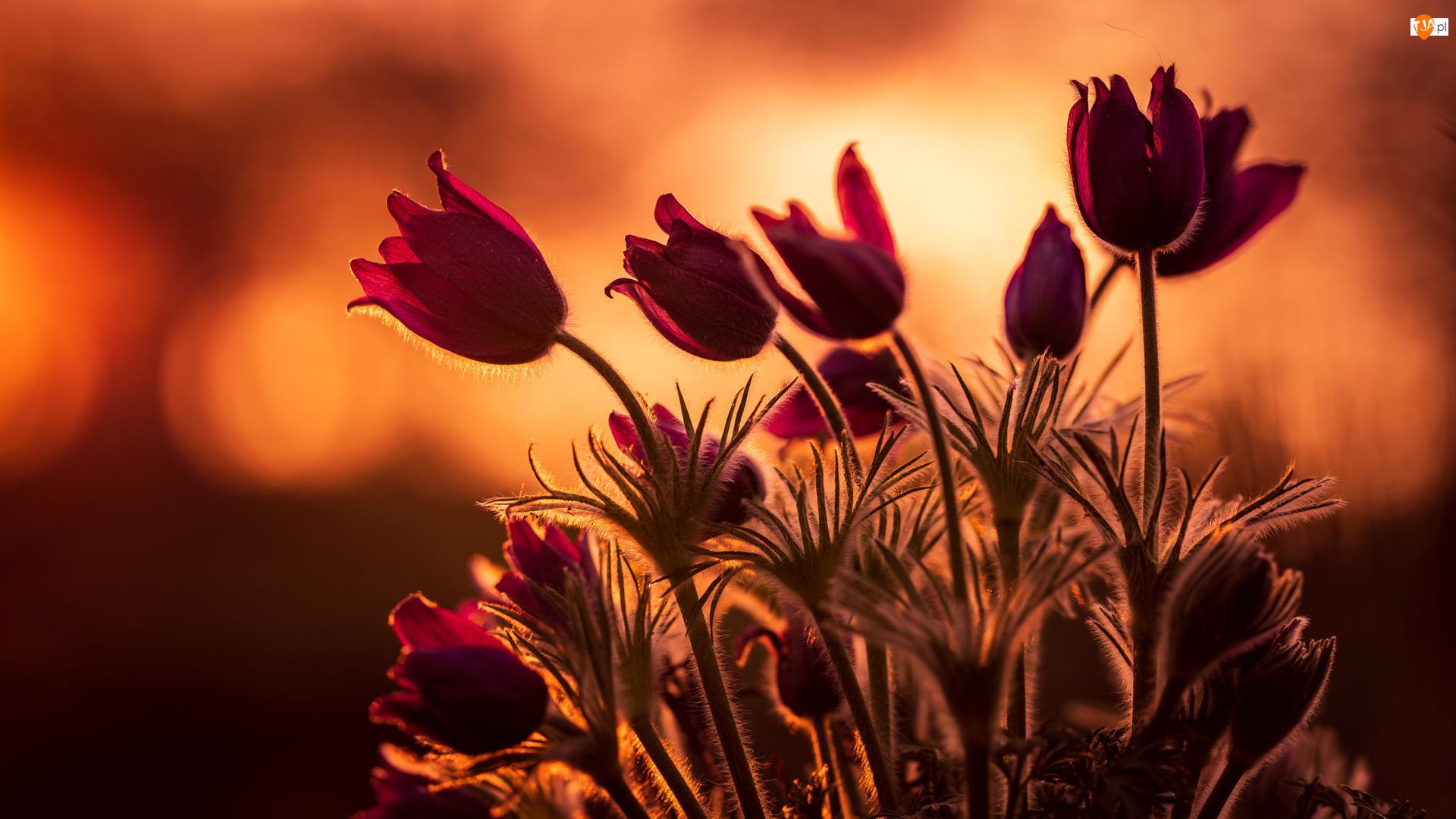 Zachód słońca, Kwiaty, Sasanki