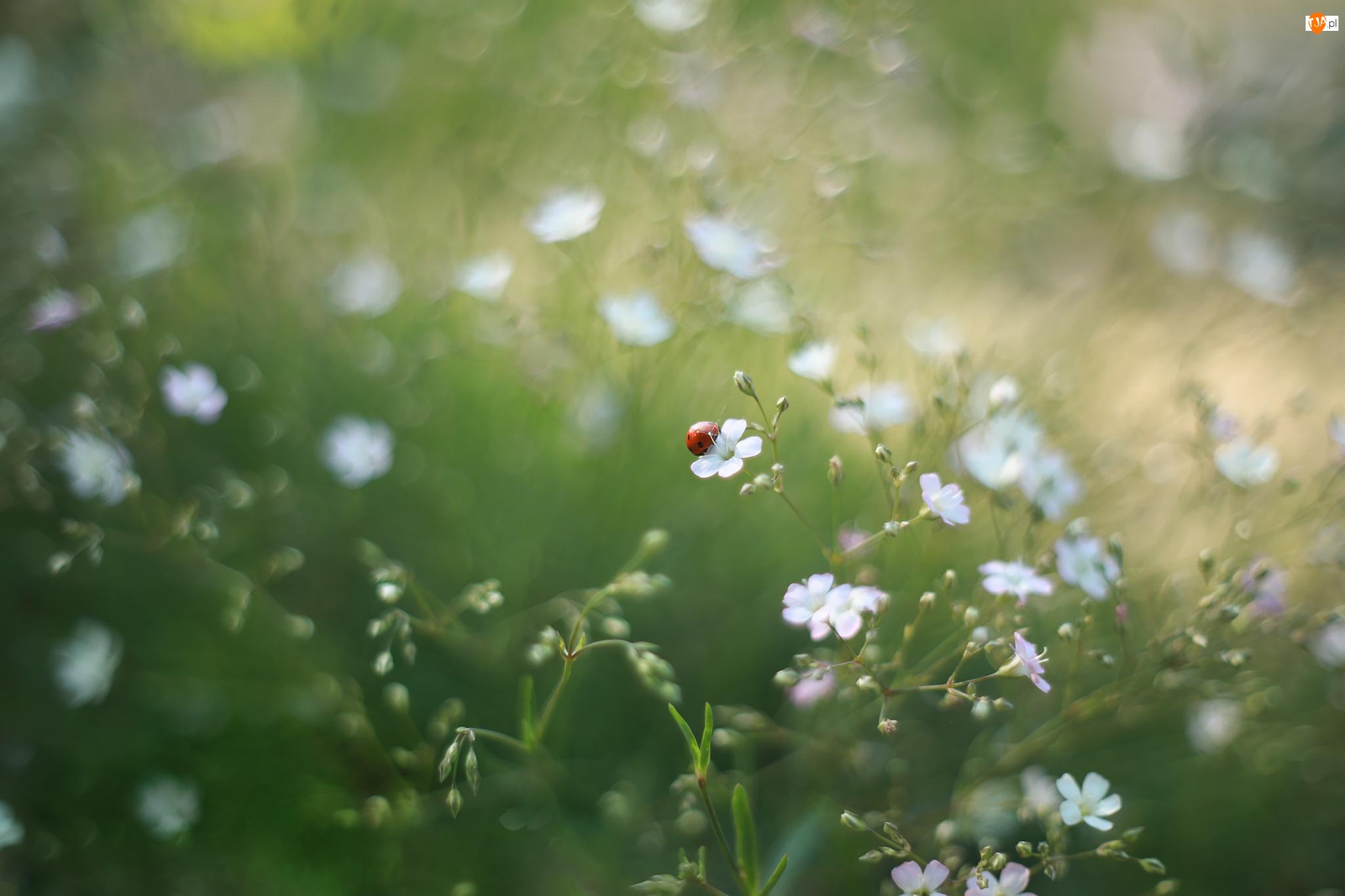 Biedronka, Białe, Kwiatki