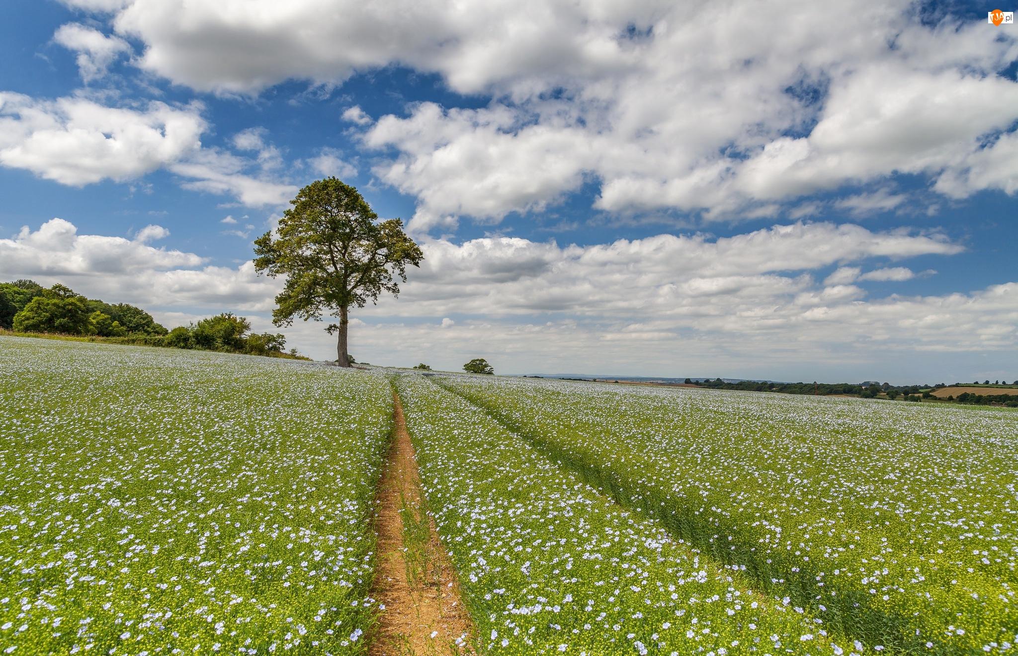 Pole, Chmury, Bladoniebieskie, Len, Drzewa, Kwiaty