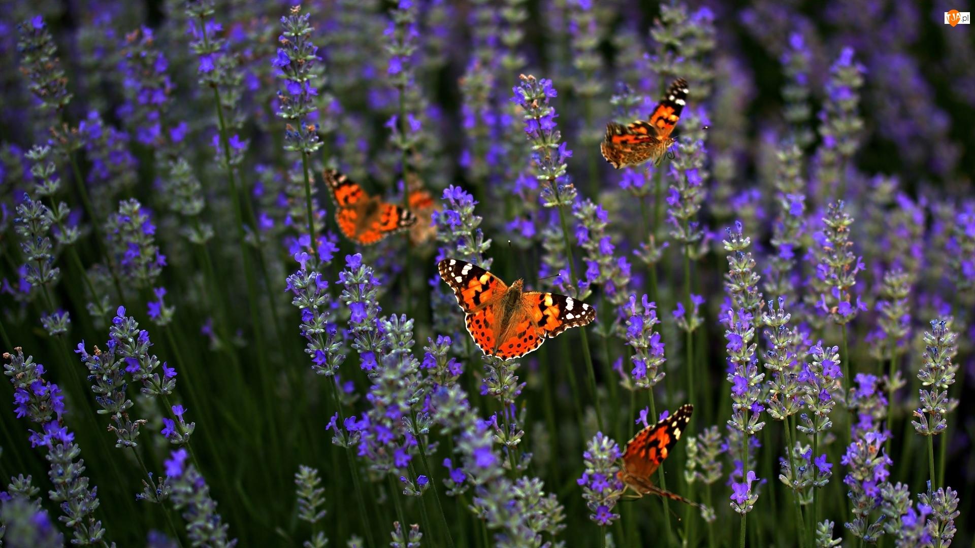 Rusałka osetnik, Kwiaty, Lawenda, Motyle