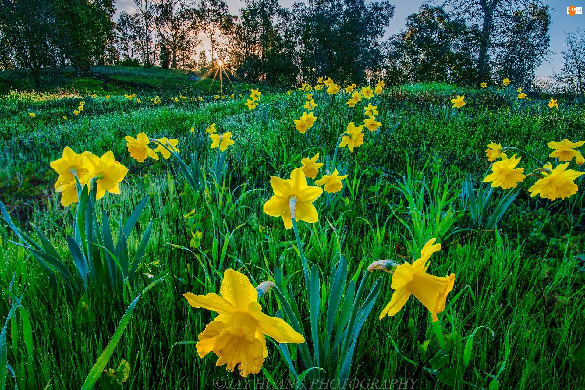 Narcyzy żonkile, Promienie słońca, Kwiaty, Wiosna, Drzewa