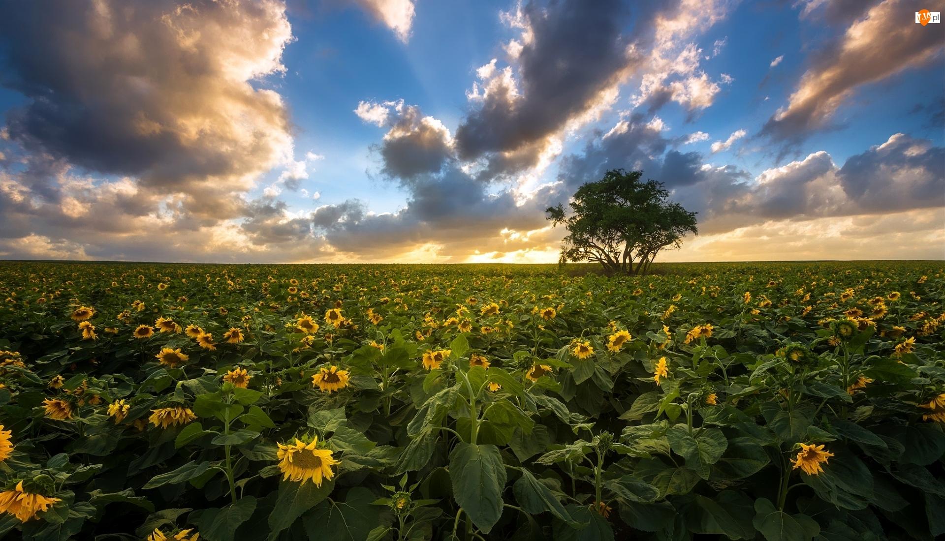 Kwiaty, Drzewo, Pole, Chmury, Słoneczniki