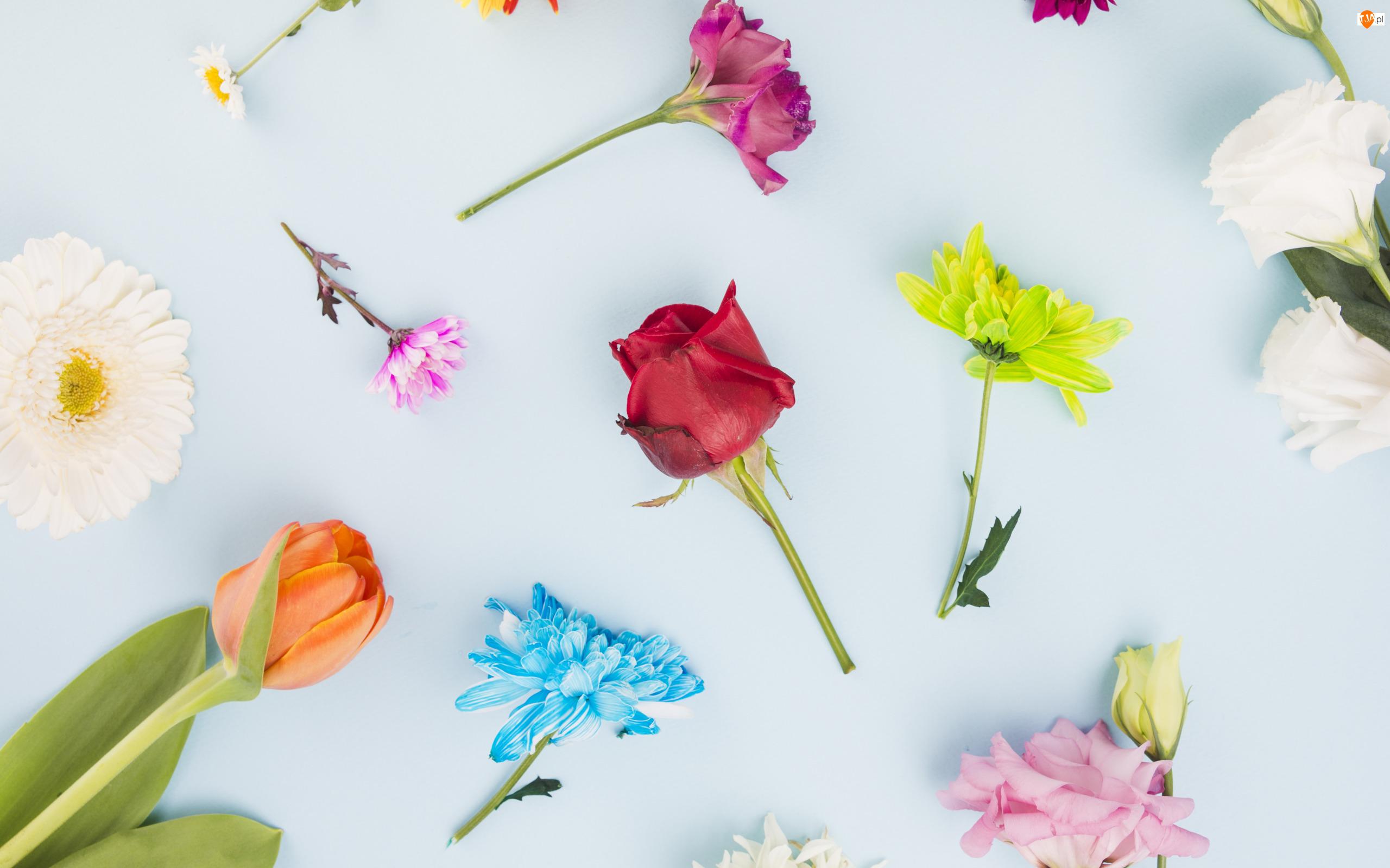 Gerbera, Kolorowe, Tulipan, Chryzantemy, Kwiaty, Stokrotka, Goździk, Róża