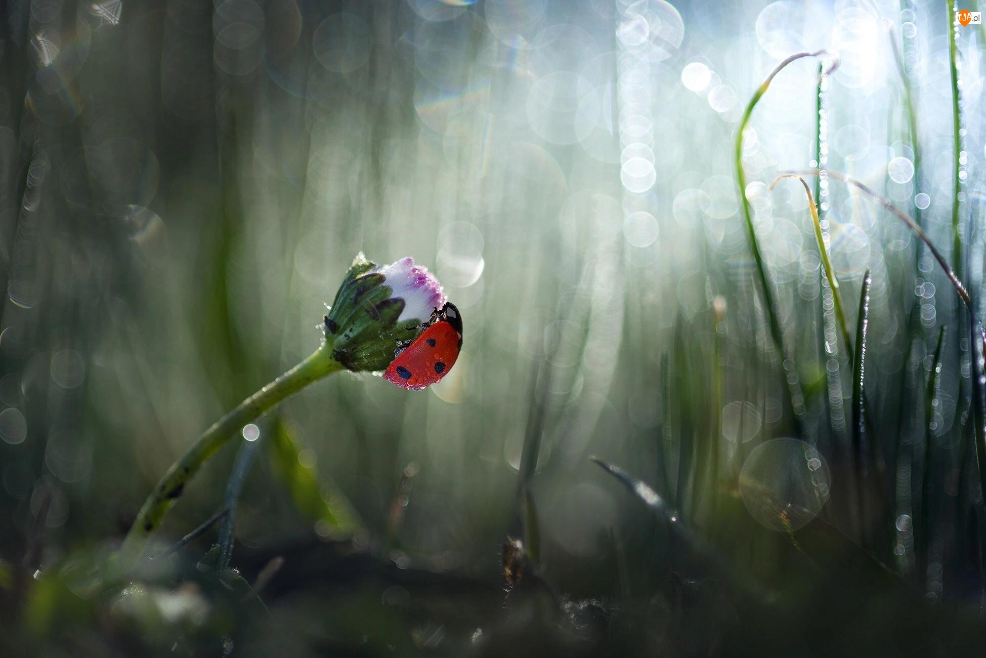 Kwiat, Biedronka, Trawa, Rozmyte tło, Stokrotka, Zbliżenie