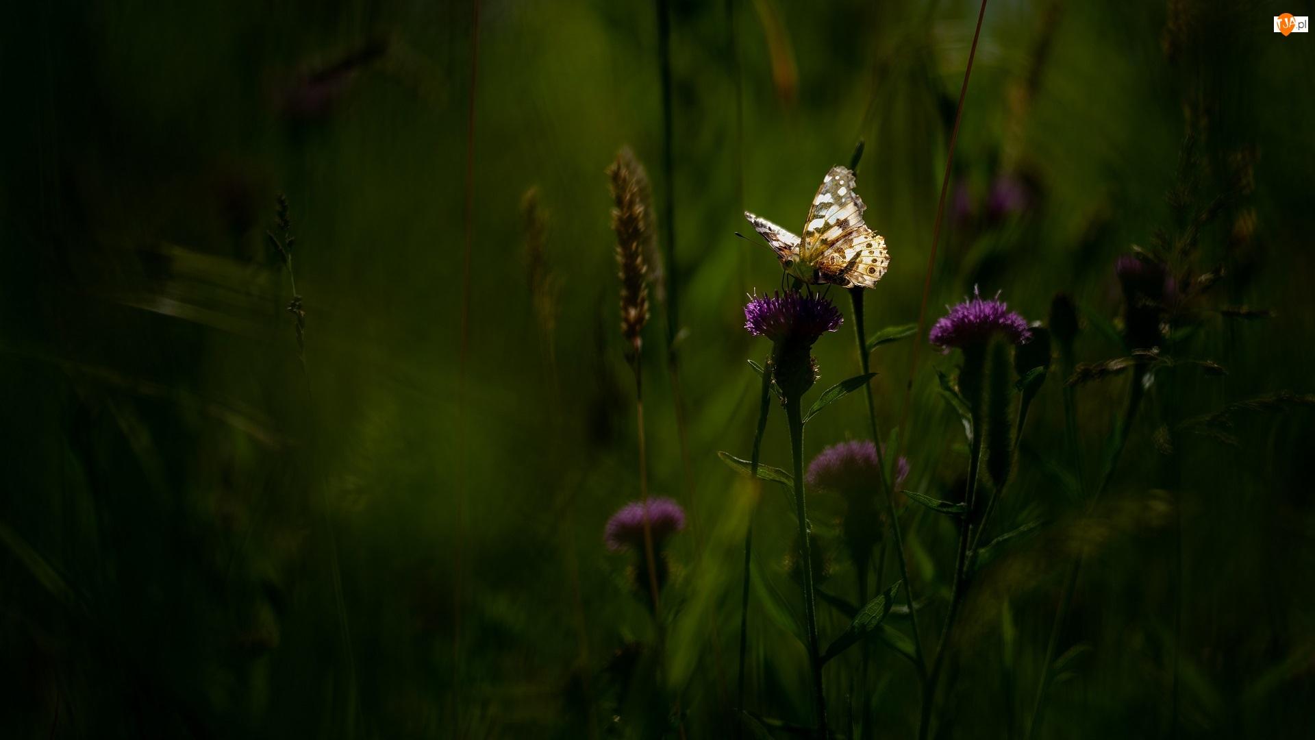 Motyl, Kwiaty, Ostrożeń