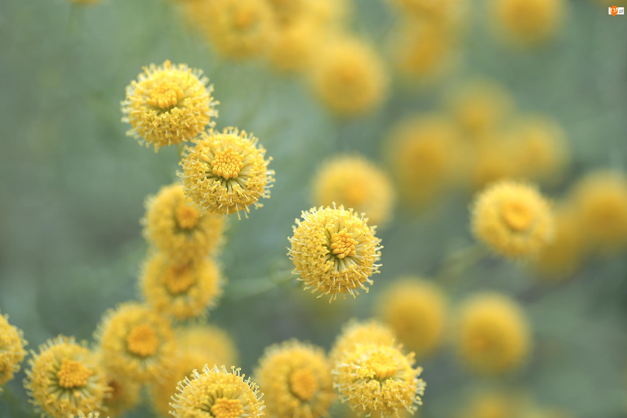 Kwiaty, Santolina cyprysikowata, Żółte