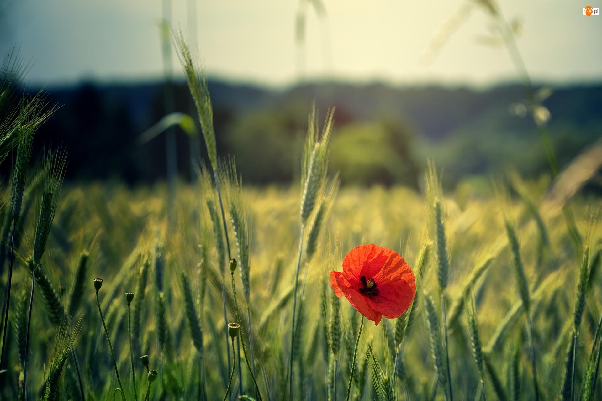 Kłosy, Kwiat, Mak, Zboże
