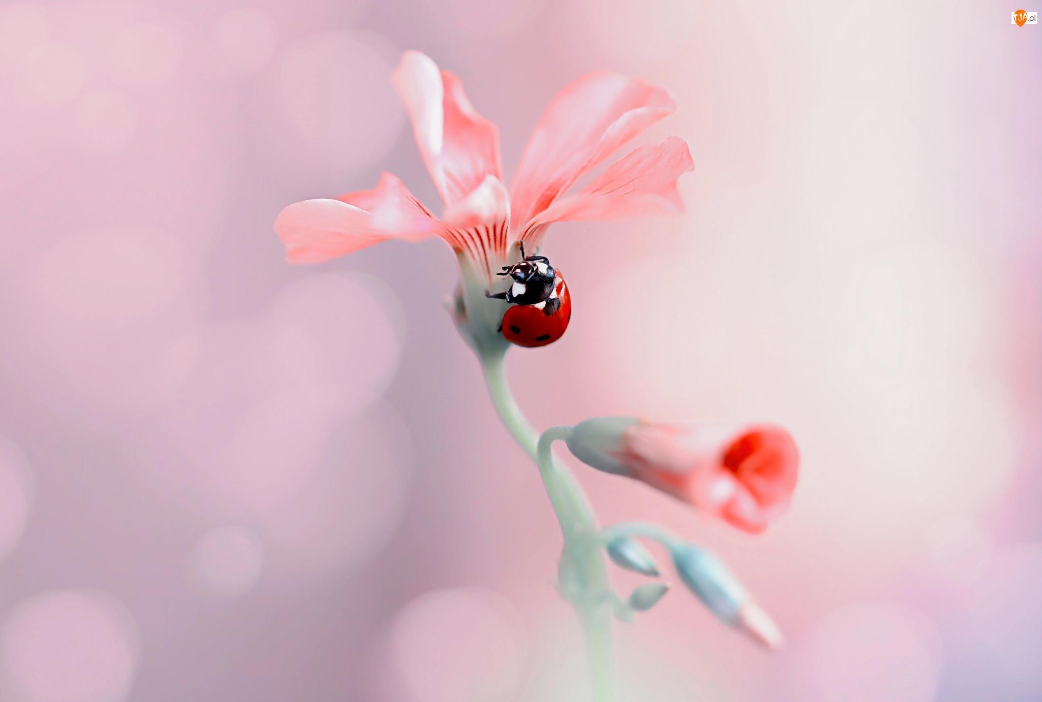 Zbliżenie, Kwiat, Biedronka