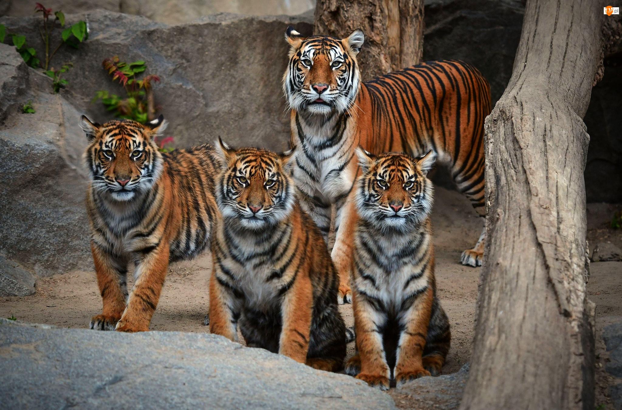 Młode, Skały, Tygrysica, Tygrysy, Konar