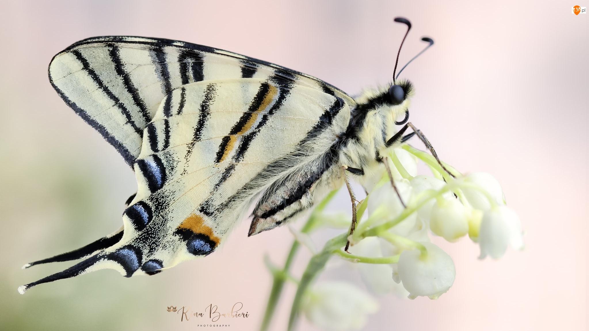 Konwalia, Motyl, Paź królowej, Kwiat