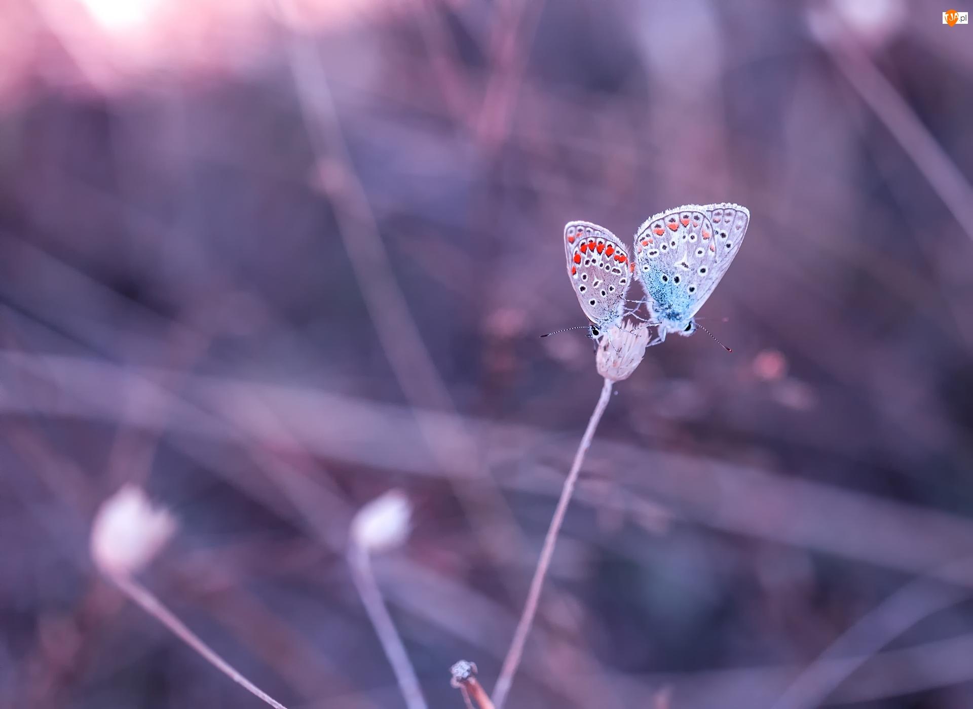 Roślinka, Dwa, Motyle, Modraszki argusy