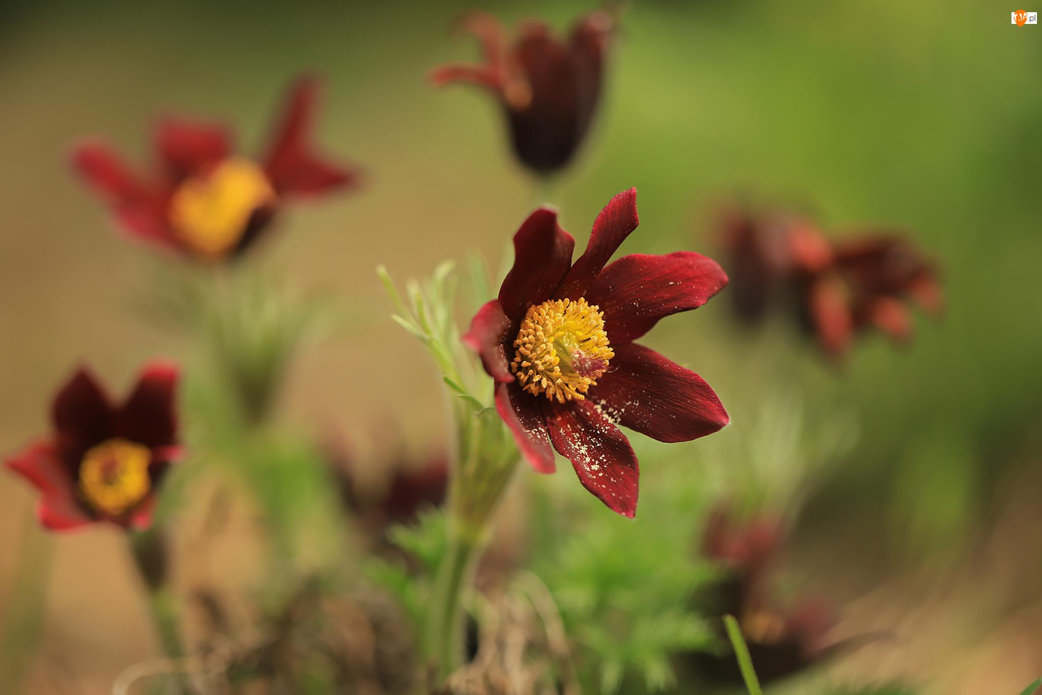 Kwiaty, Sasanki, Czerwone