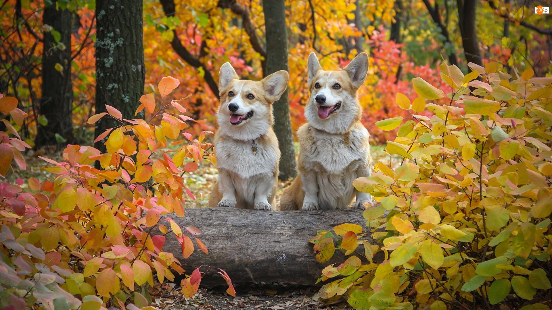 Psy, Dwa, Las, Jesień, Welsh corgi pembroke, Liście