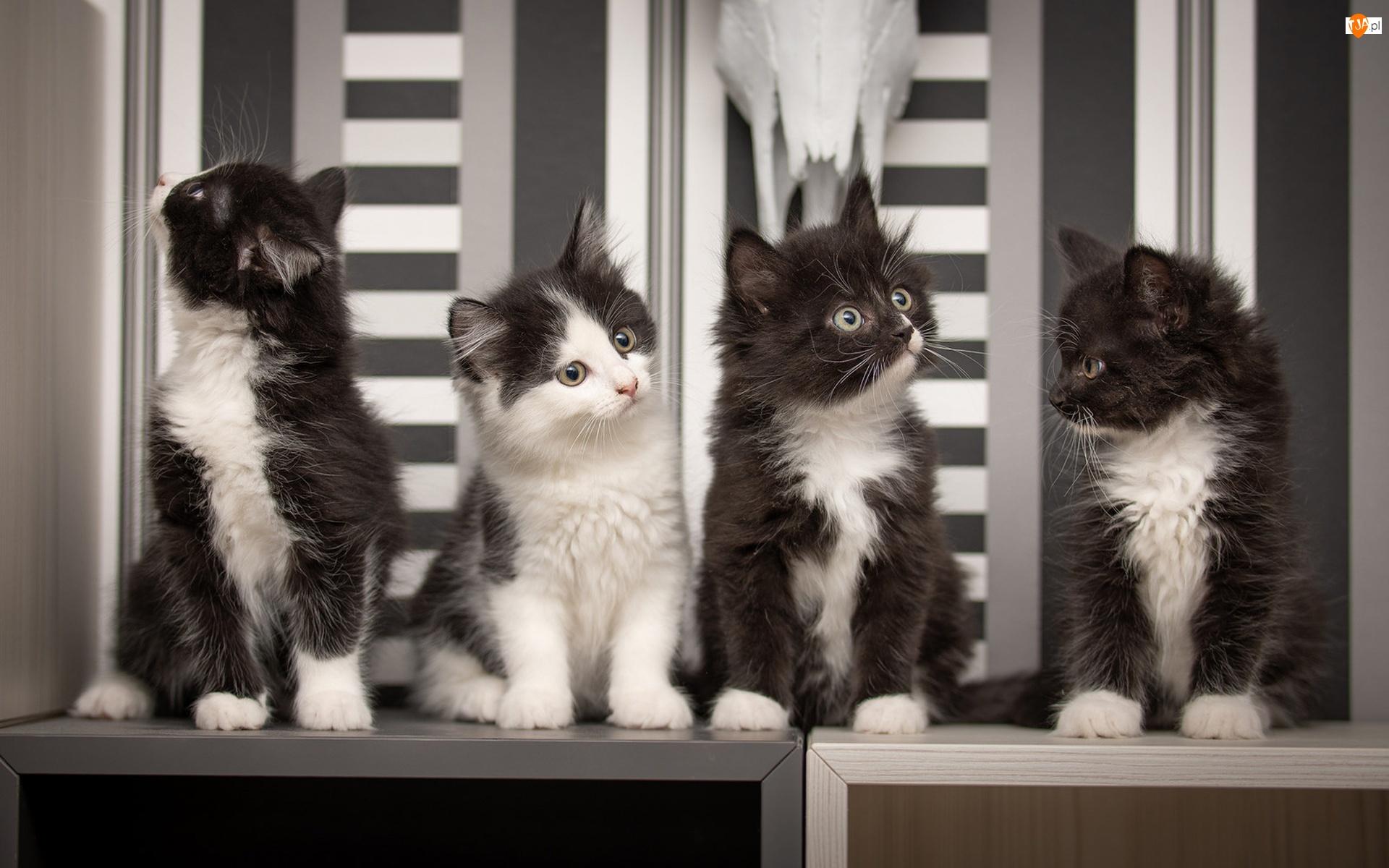 Kotki, Cztery, Małe
