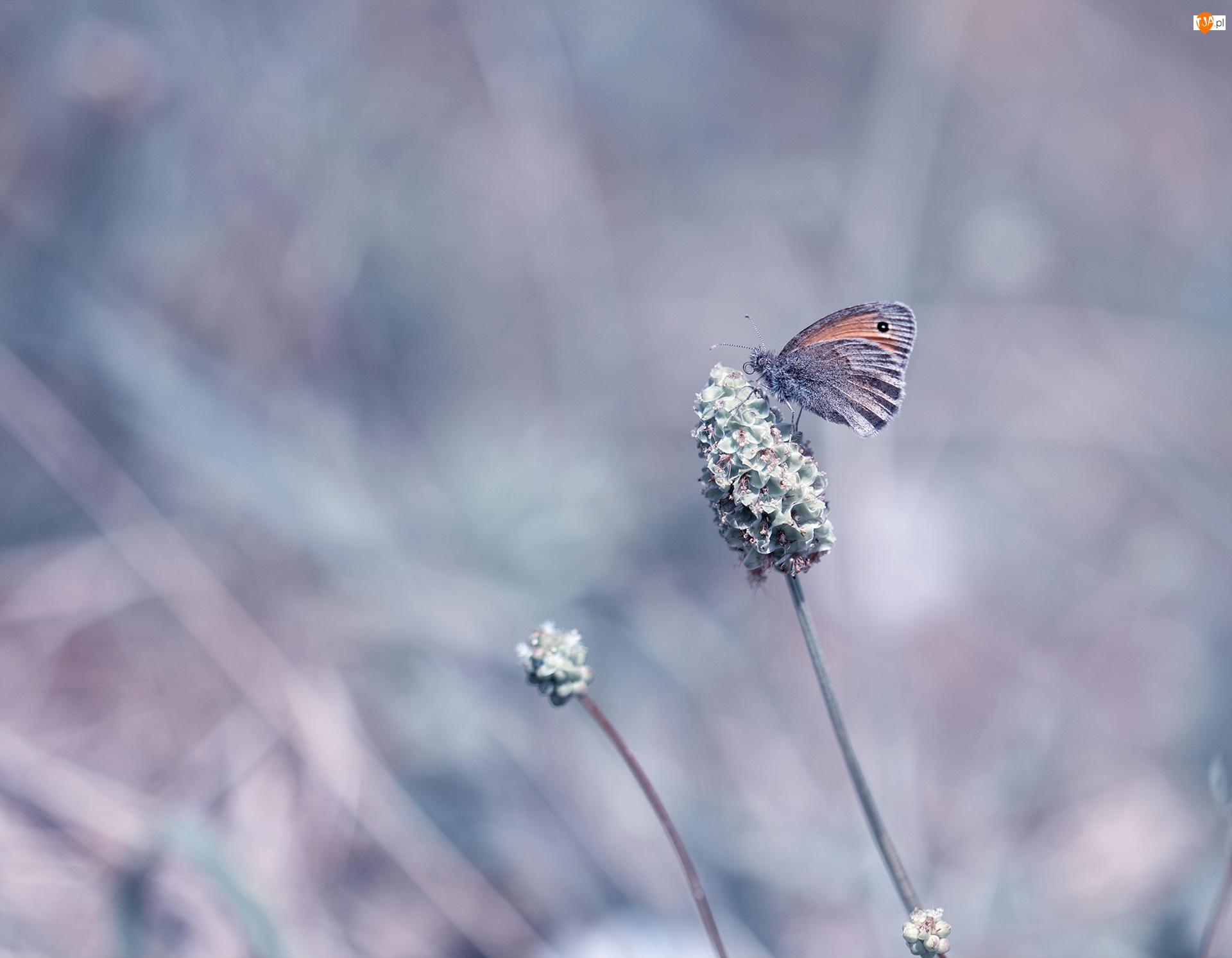 Roślina, Motyl, Strzępotek ruczajnik