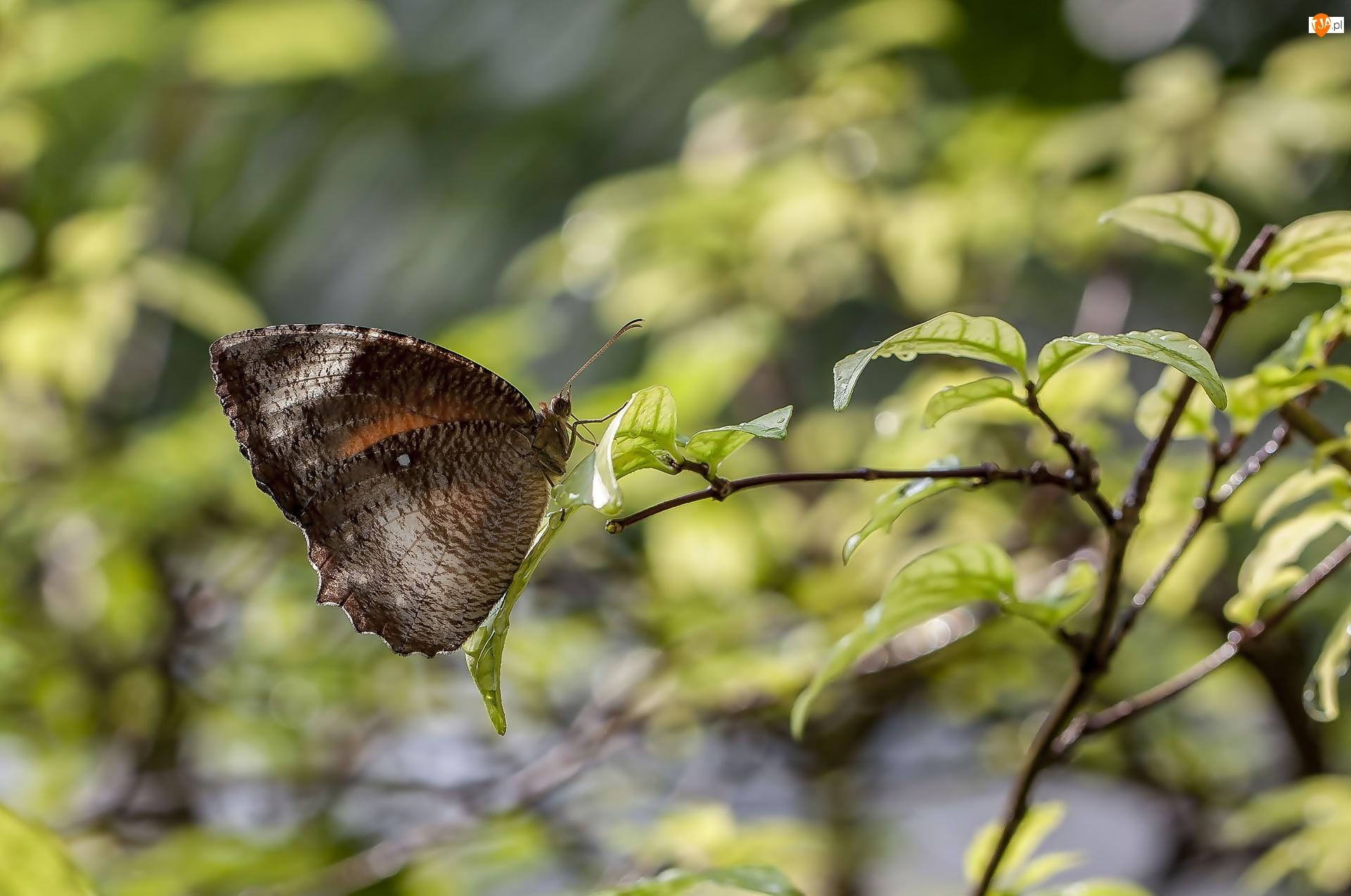 Liście, Brązowy, Motyl, Gałązka