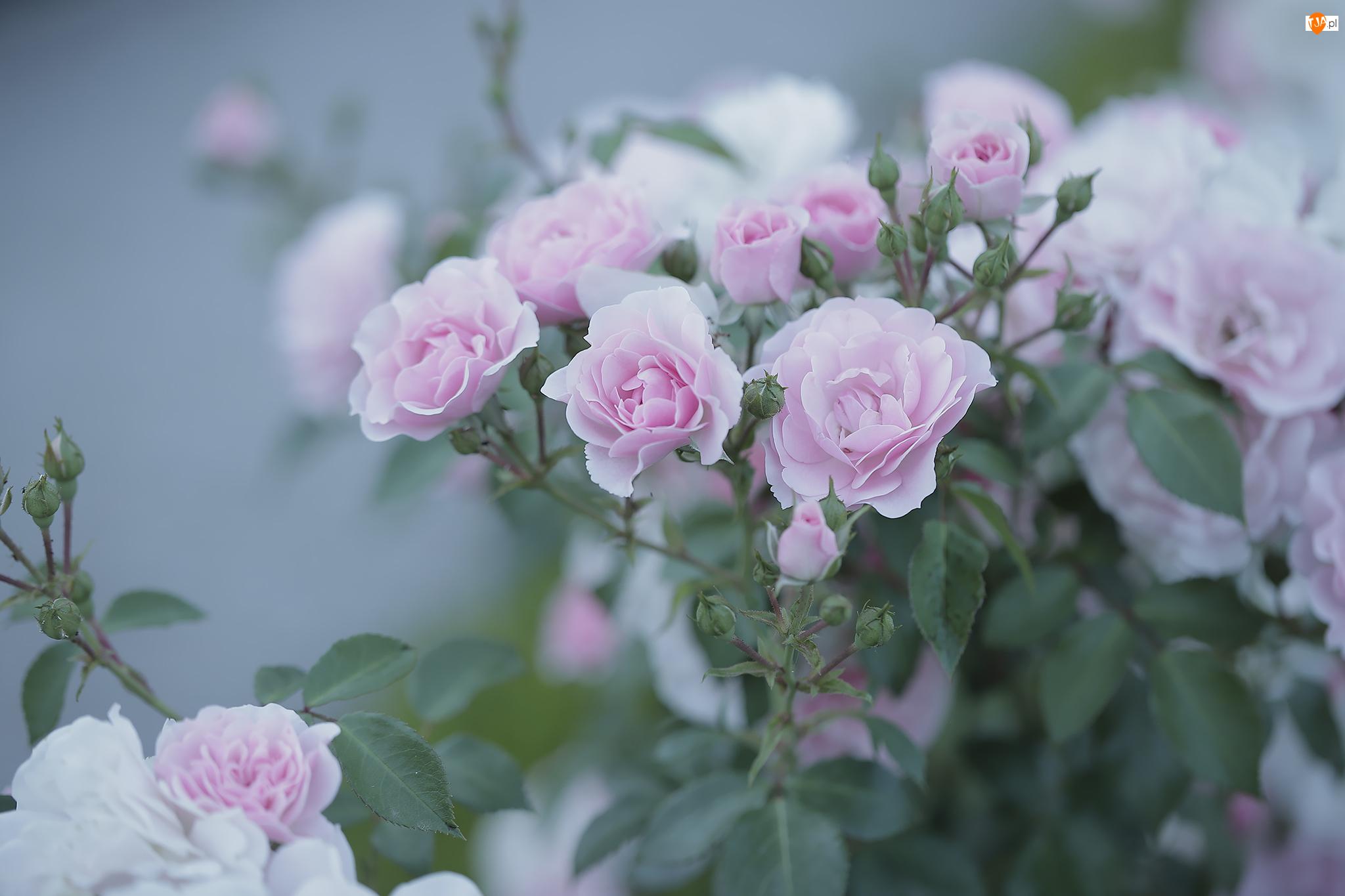 Kwiaty, Różowe, Róże, Krzew