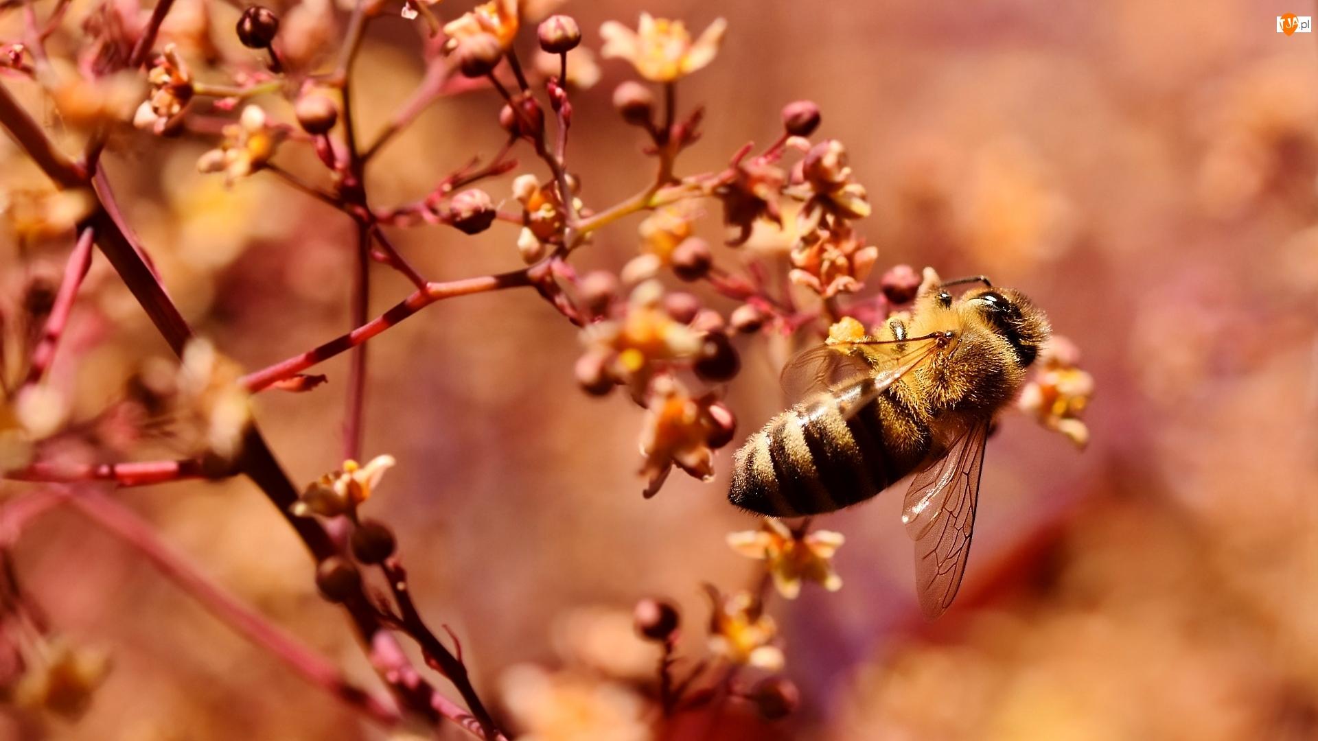 Pszczoła, Drzewo, Gałązki, Pąki