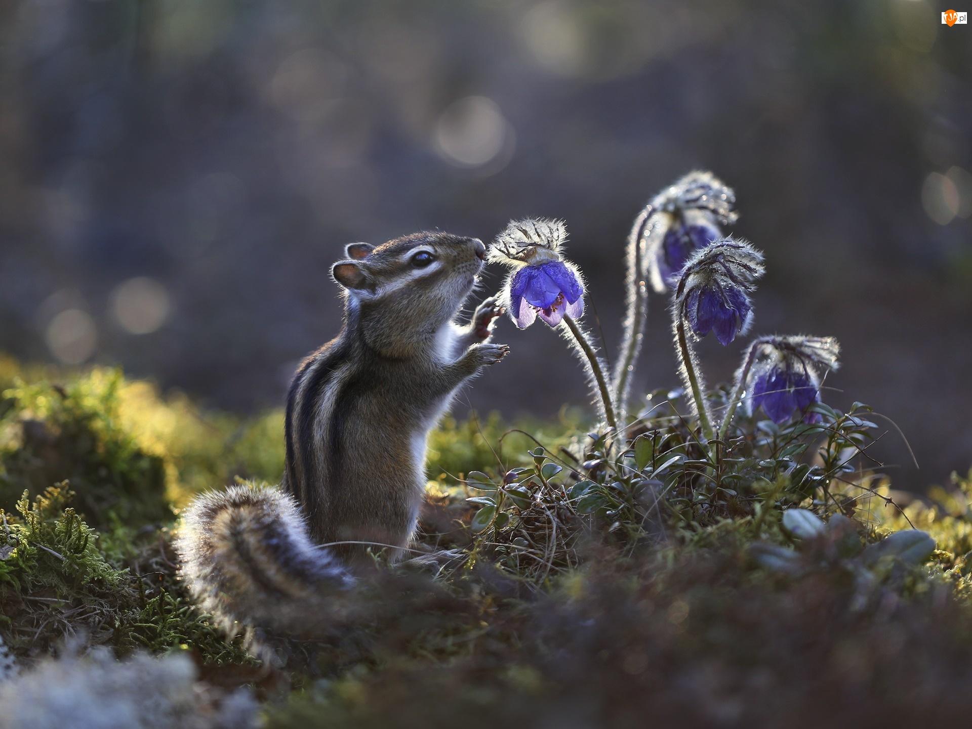 Kwiaty, Światło, Chipmunk, Pręgowiec, Sasanki
