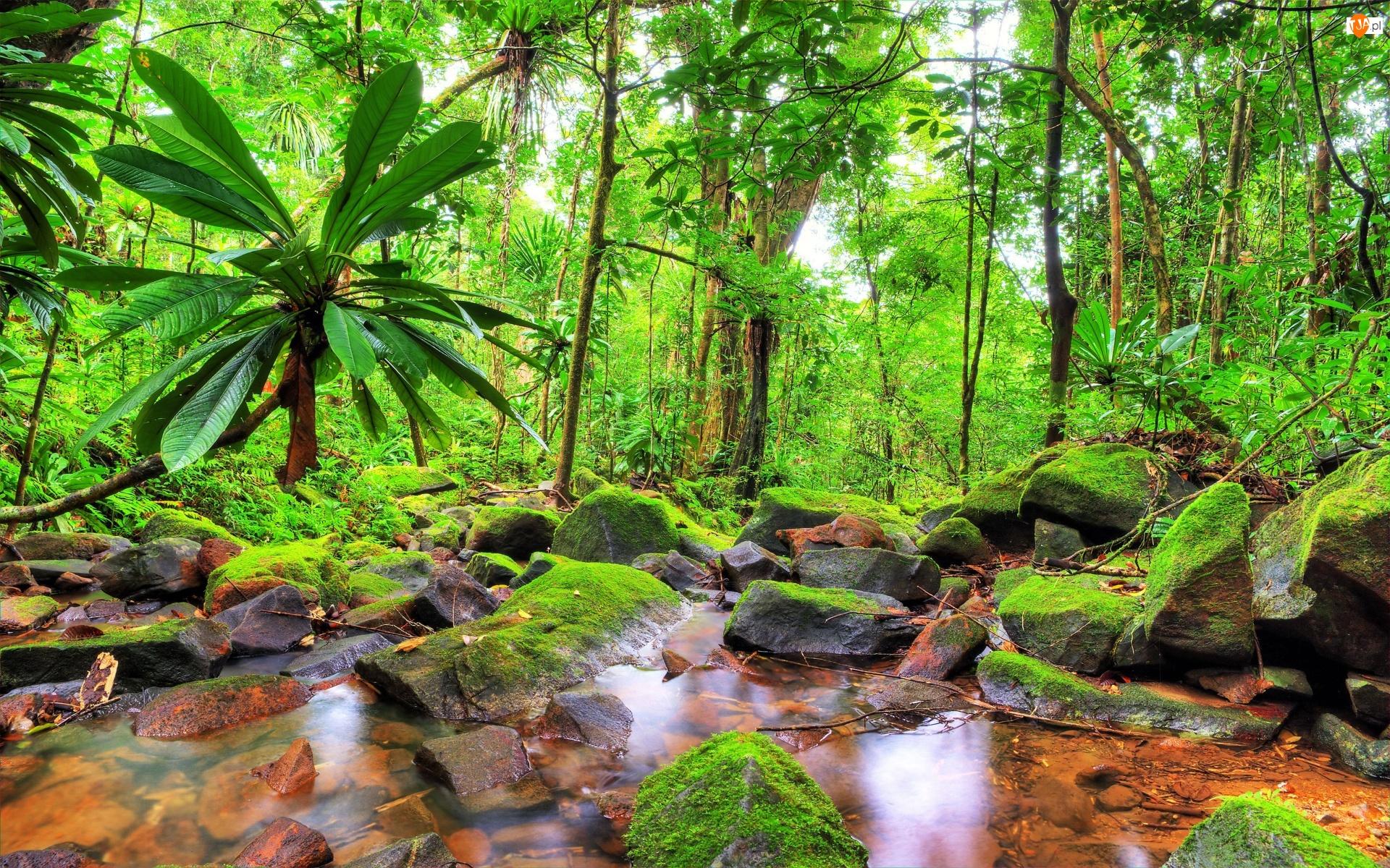 Madagaskar, Dżungla, Park Narodowy Masoala, Omszałe, Kamienie, Drzewa, Palmy, Las tropikalny, Strumień