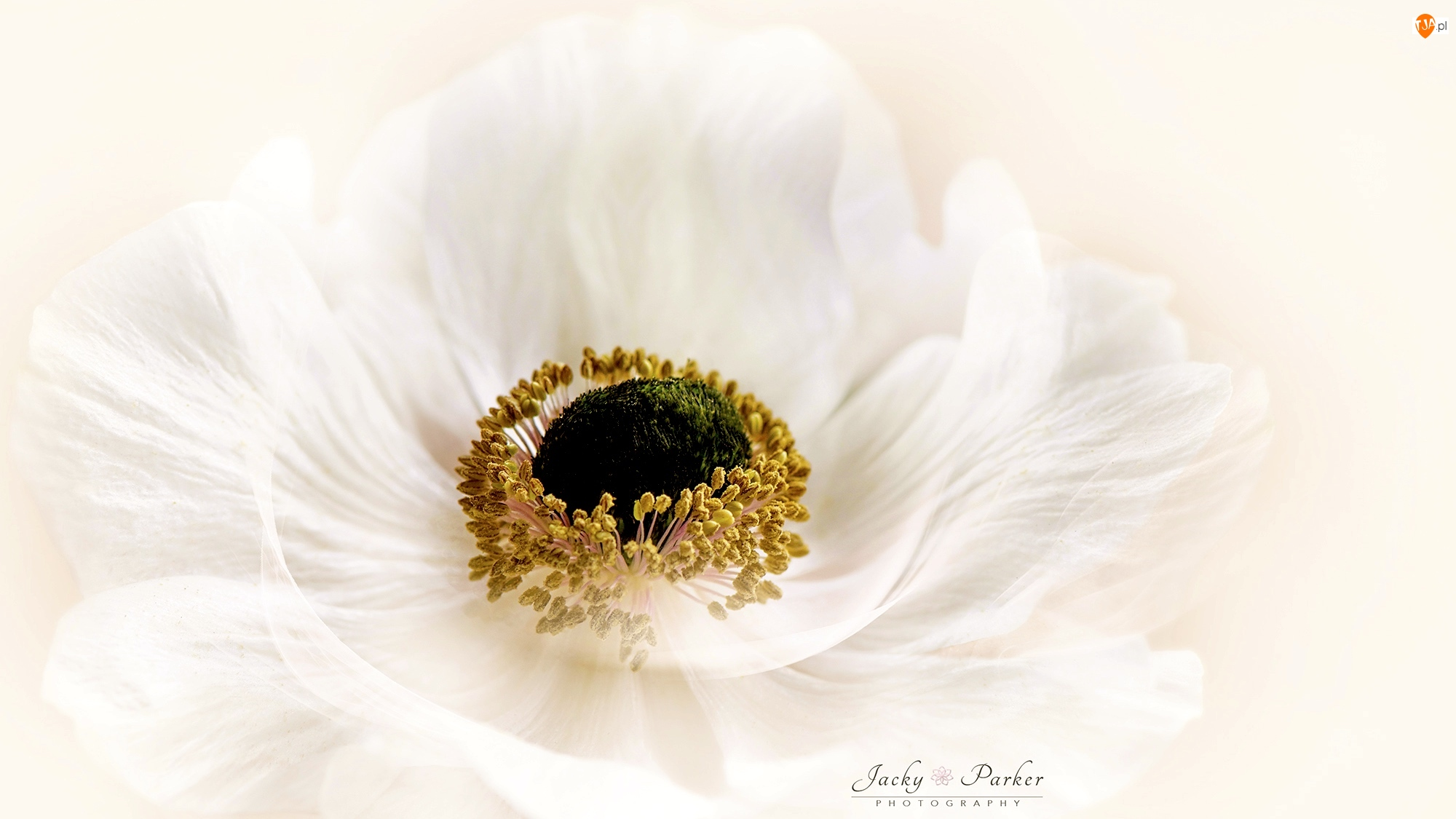 Makro, Kwiat, Biały, Zawilec