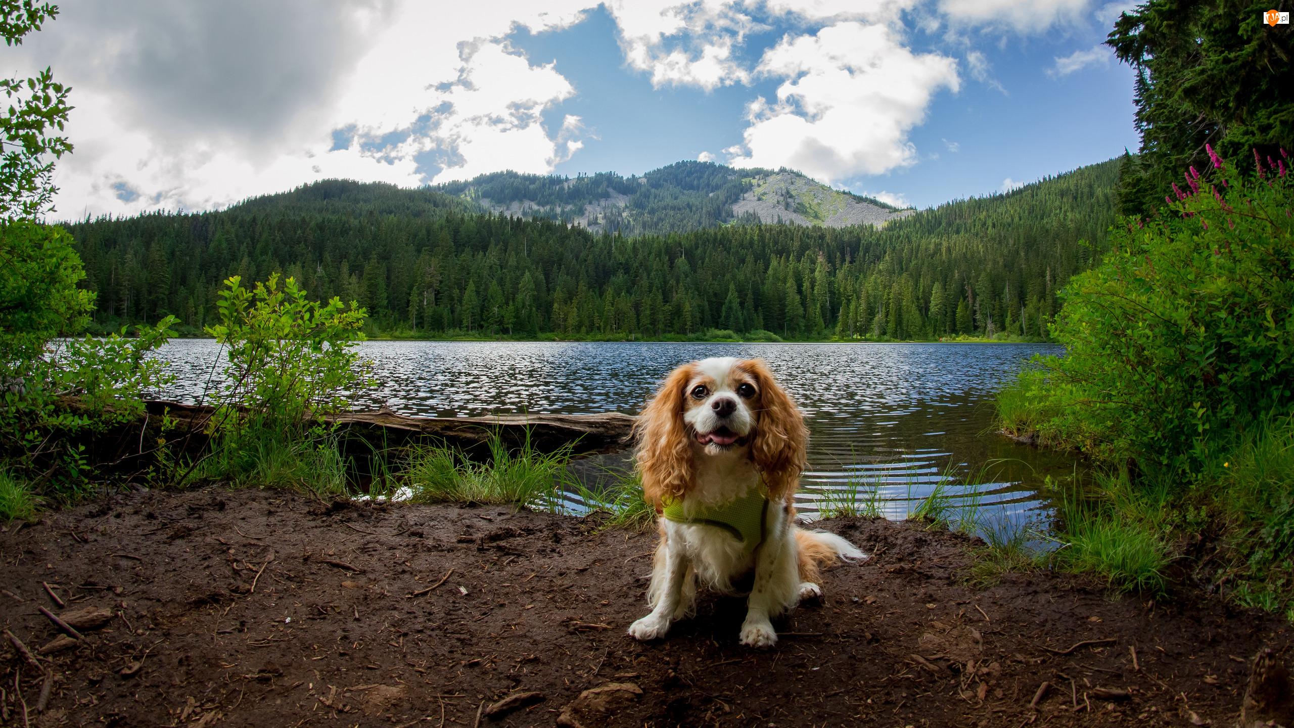 Rzeka, Góry, King charles spaniel, Pies, Drzewa