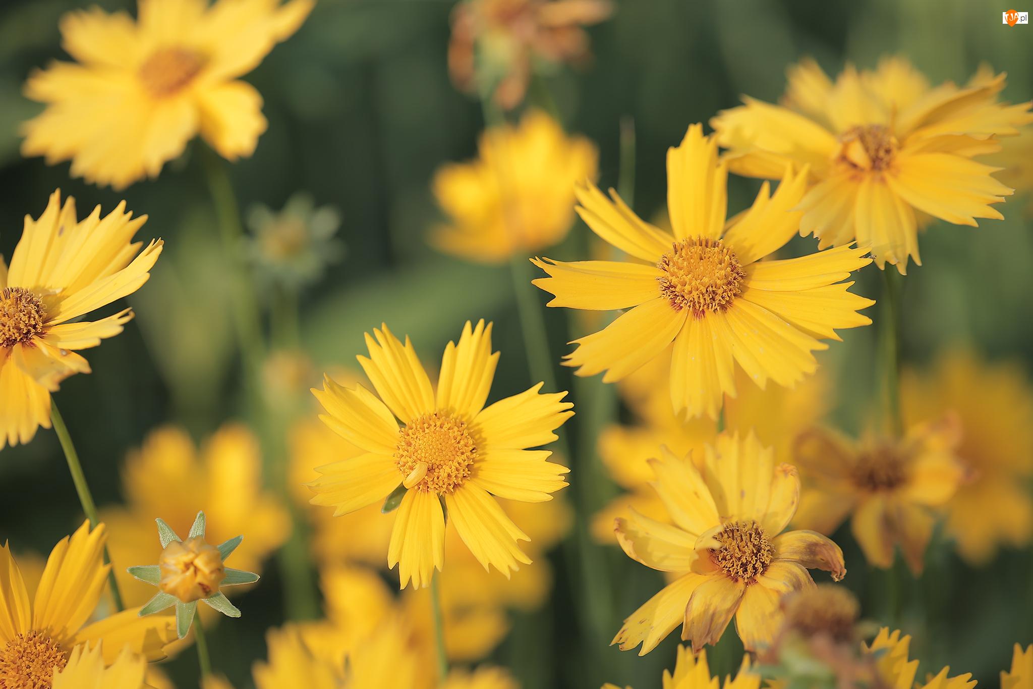 Nachyłki, Kwiaty, Żółte