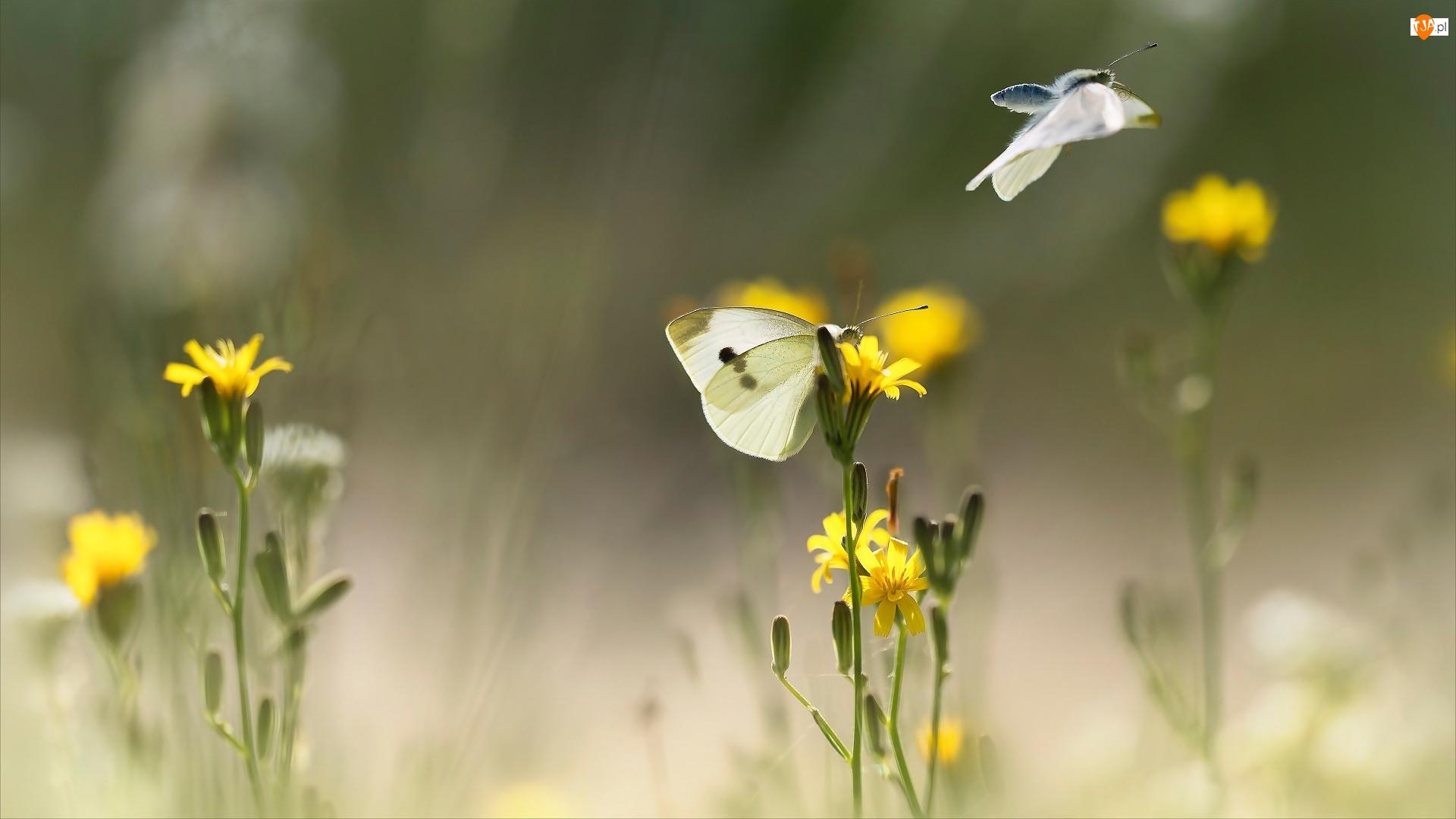 Kwiaty, Motyle, Bielinek, Żółte