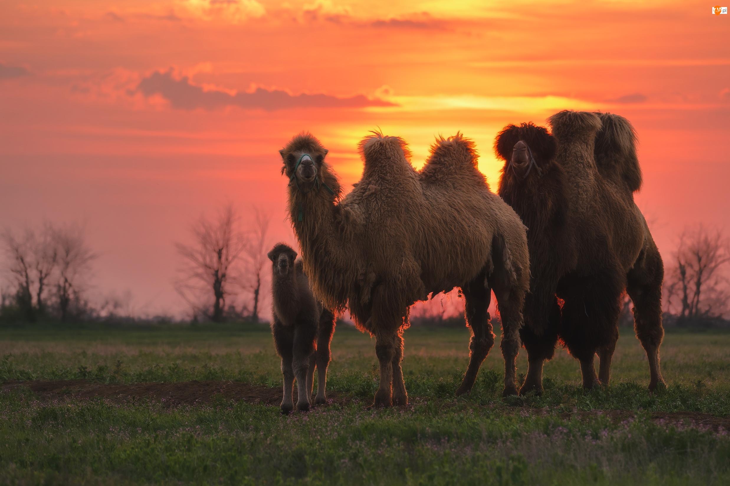Wielbłądy dwugarbne, Wielbłąd, Dorosłe, Dwa, Mały