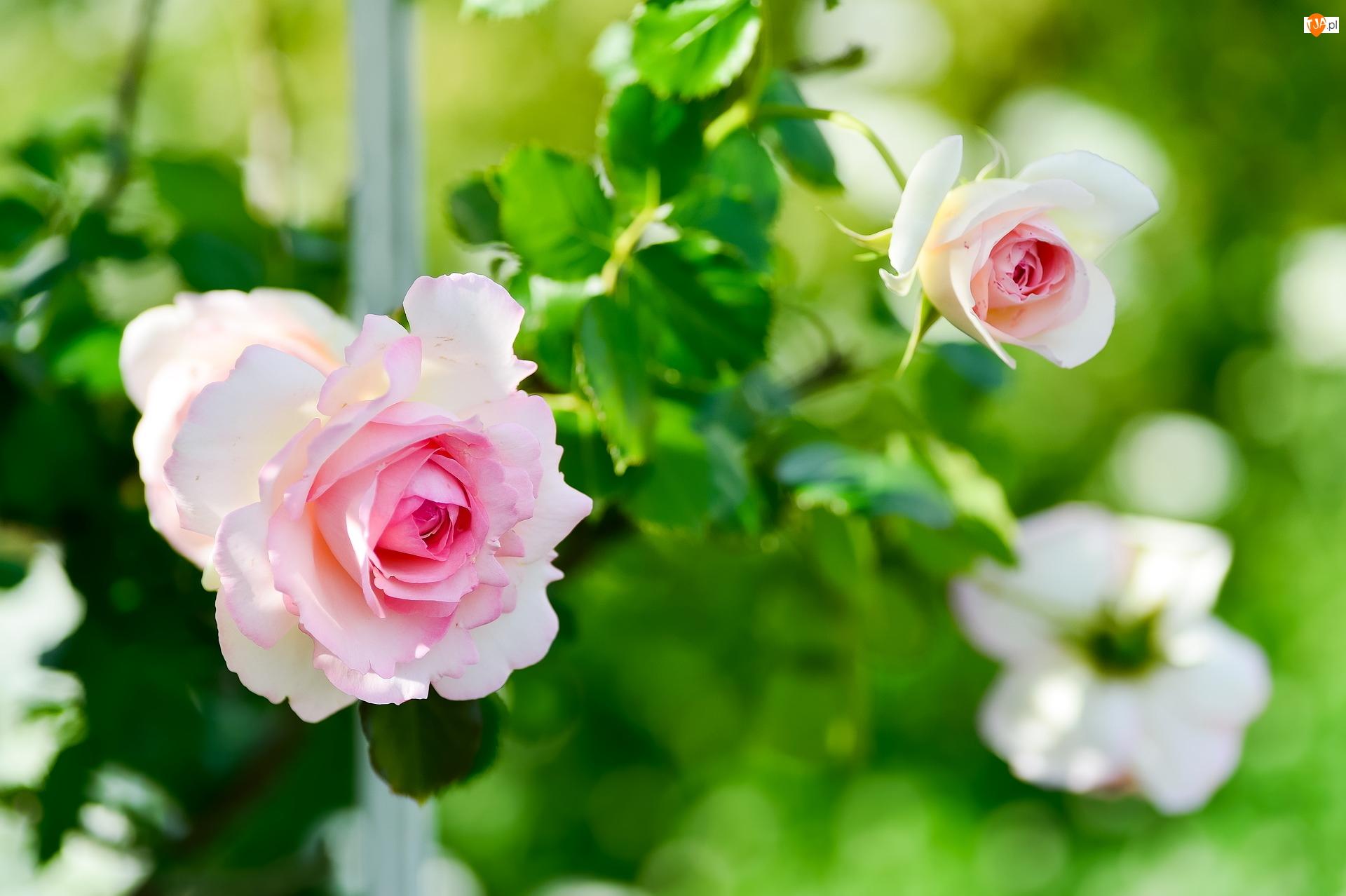 Pąk, Biało-różowe, Róże