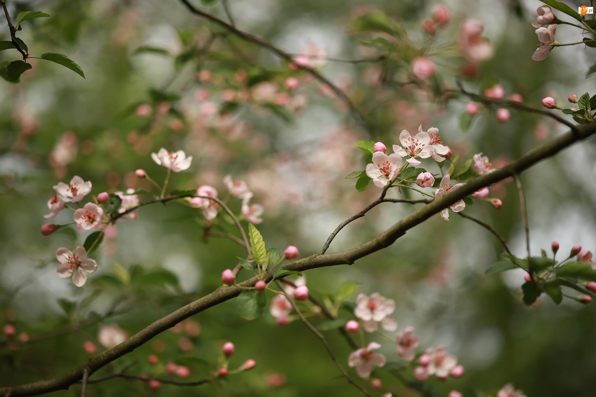 Kwiaty, Drzewo owocowe, Gałązki, Różowe