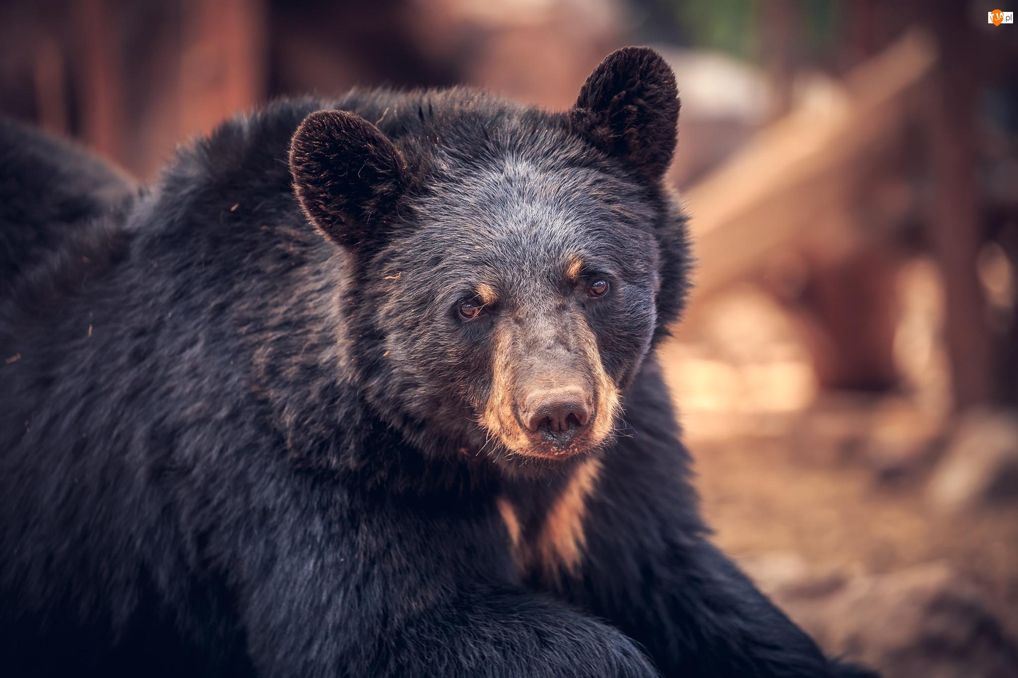 Baribal, Niedźwiedź czarny