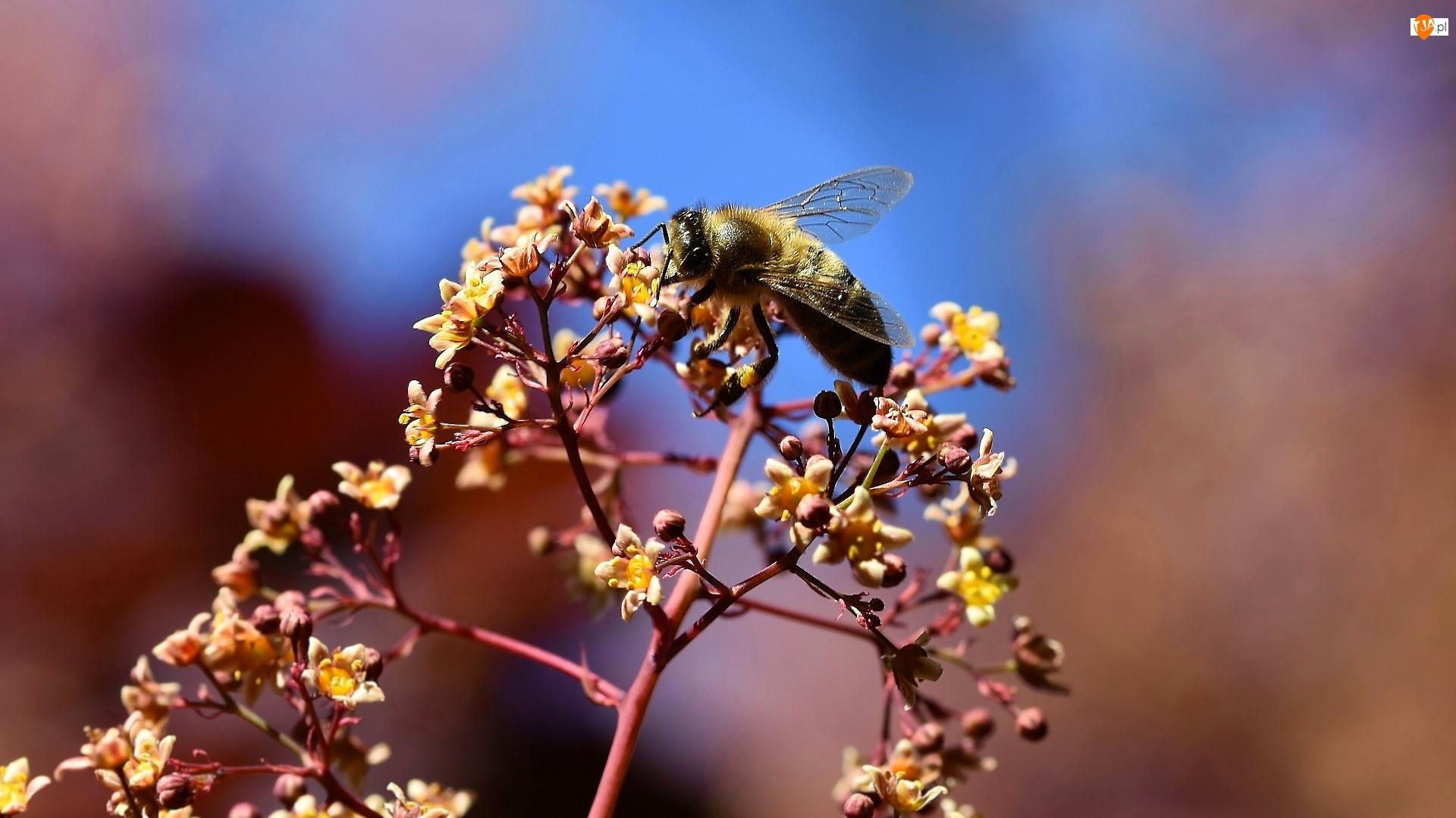 Pszczoła, Roślina, Kwiaty