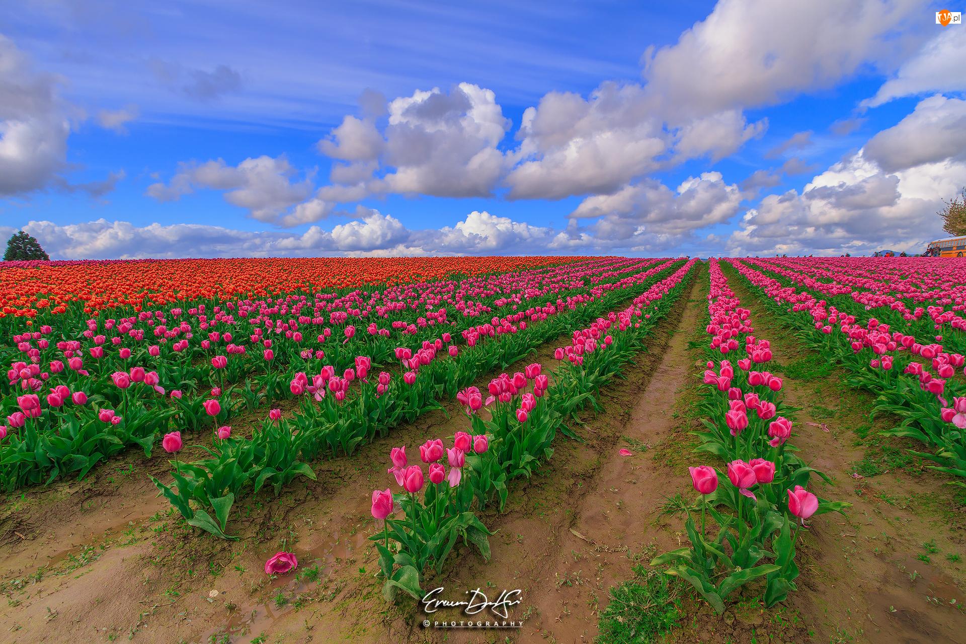 Chmury, Plantacja, Różowe, Tulipany