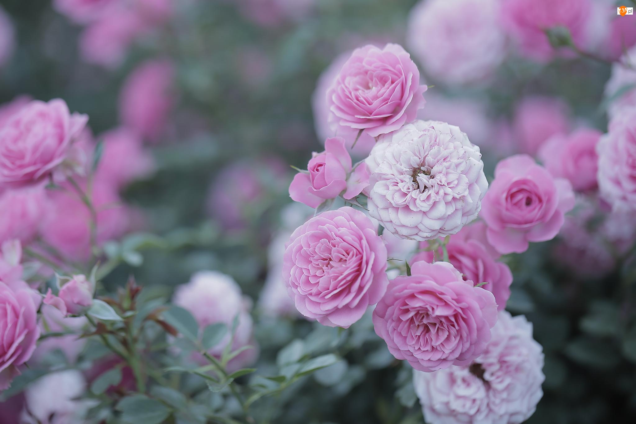 Kwiaty, Różowe, Rozkwitnięte, Róże