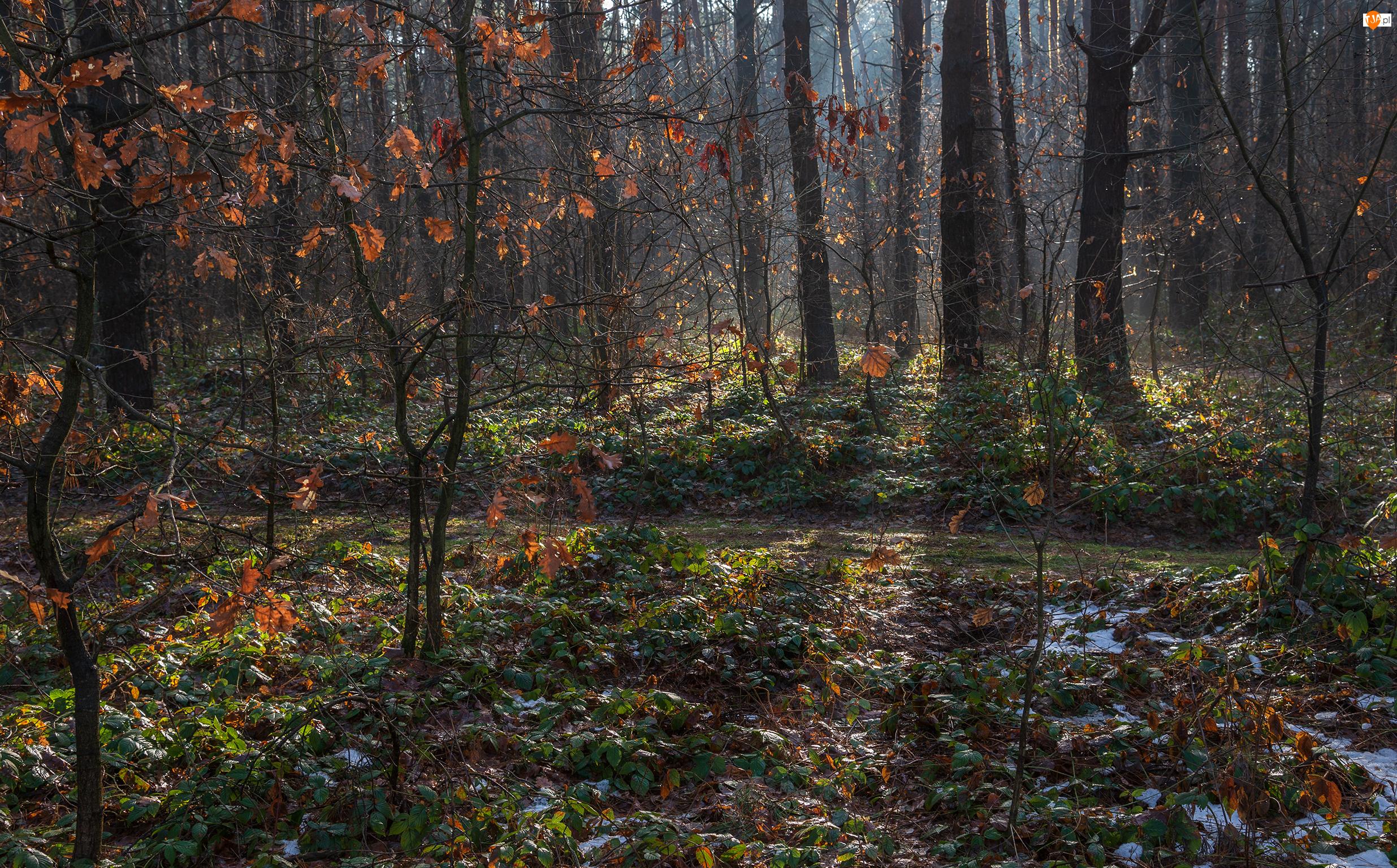 Brązowe, Jesień, Drzewa, Las, Liście